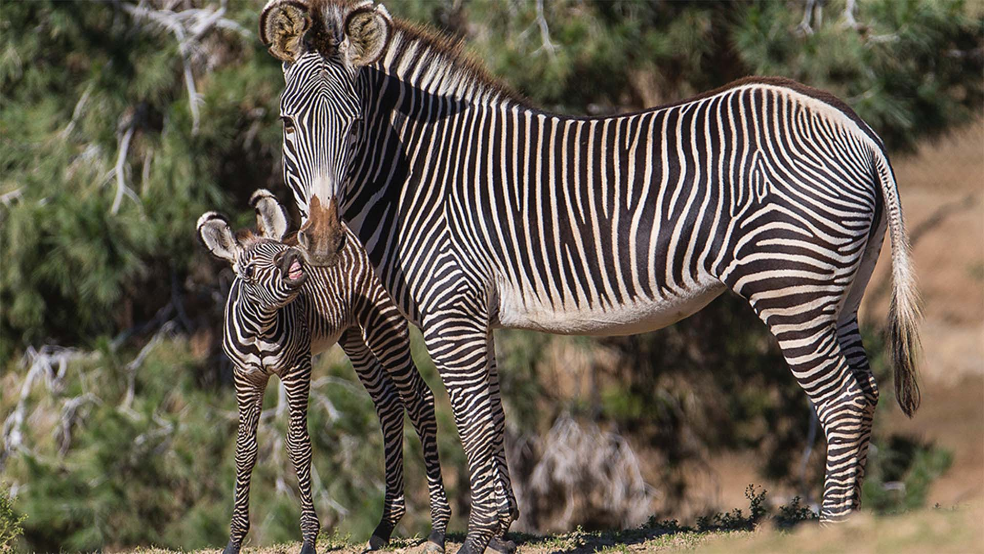 Zebra | San Diego Zoo Animals & Plants