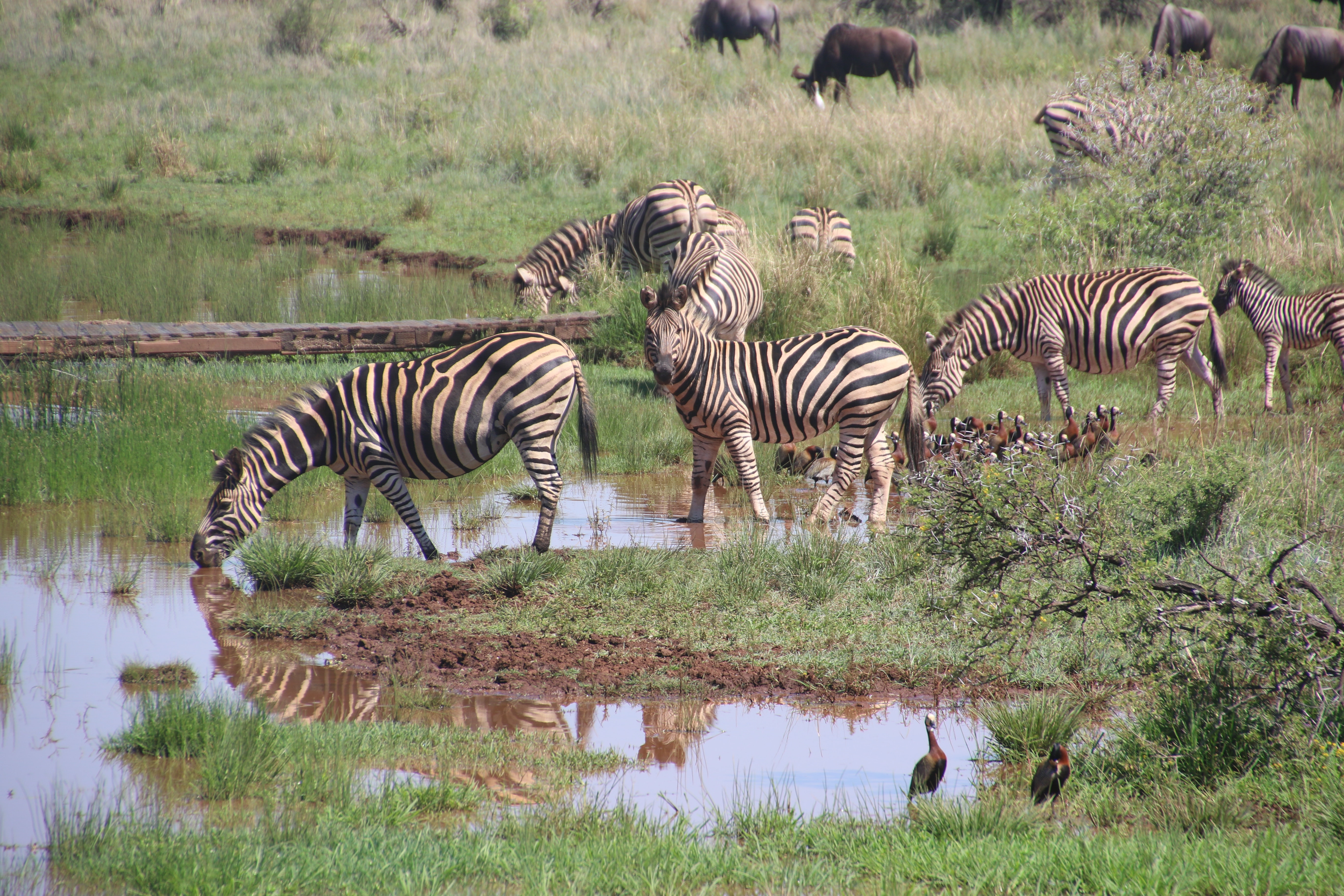 Herd of zebras on body of water with grass photo