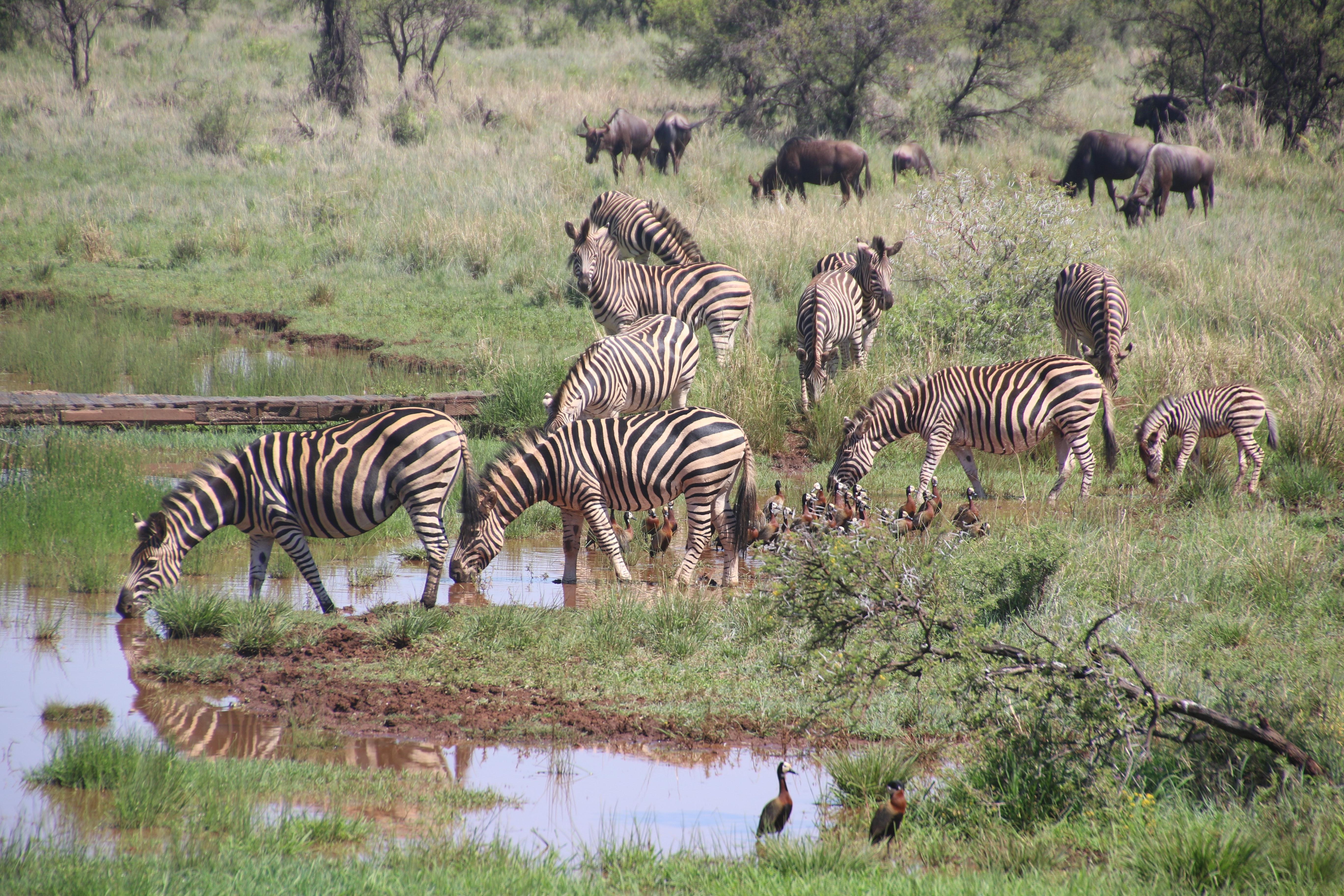 Herd of zebras on grass field photo
