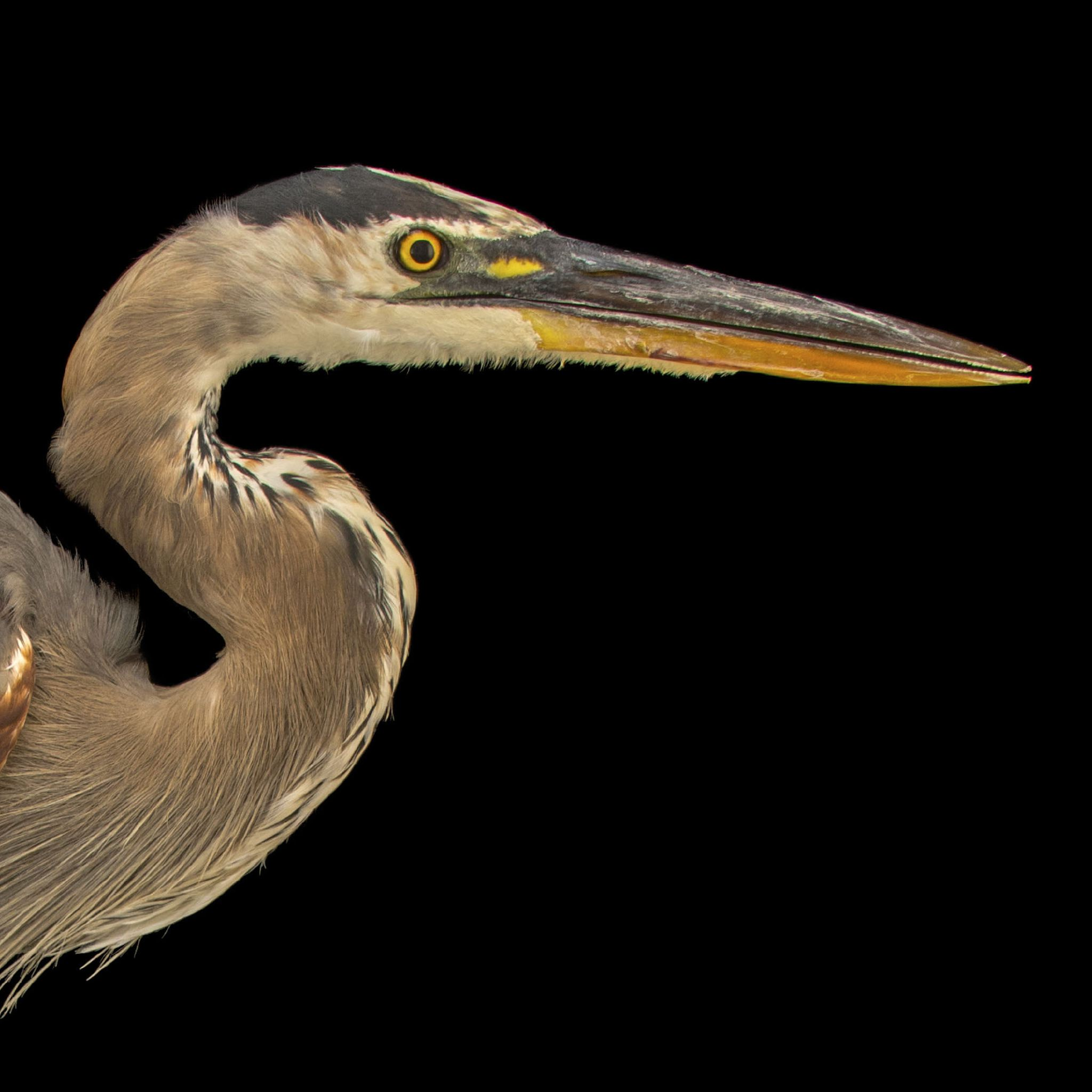 Great Blue Heron | National Geographic