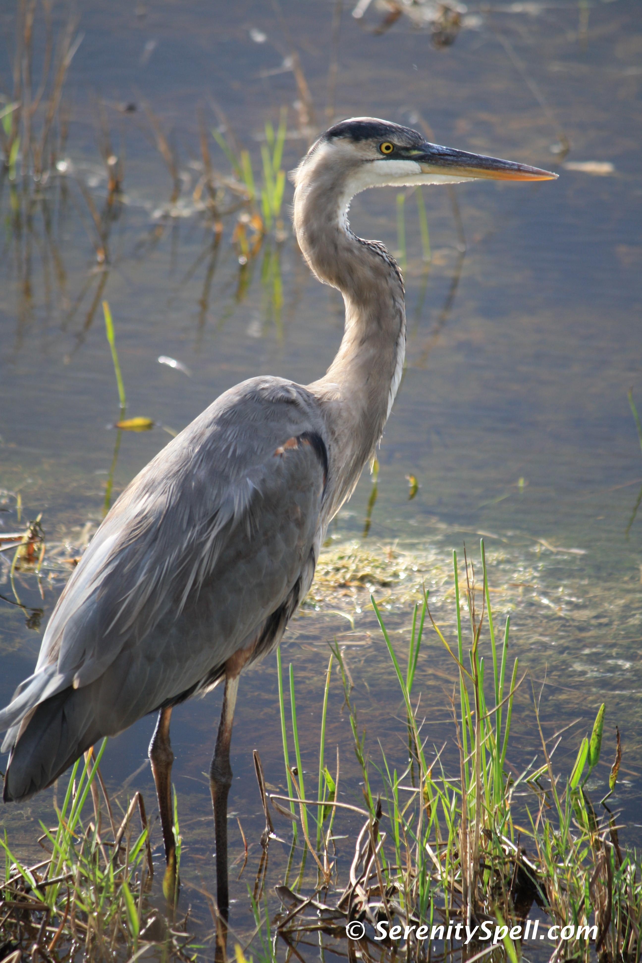 great blue heron   Serenity Spell