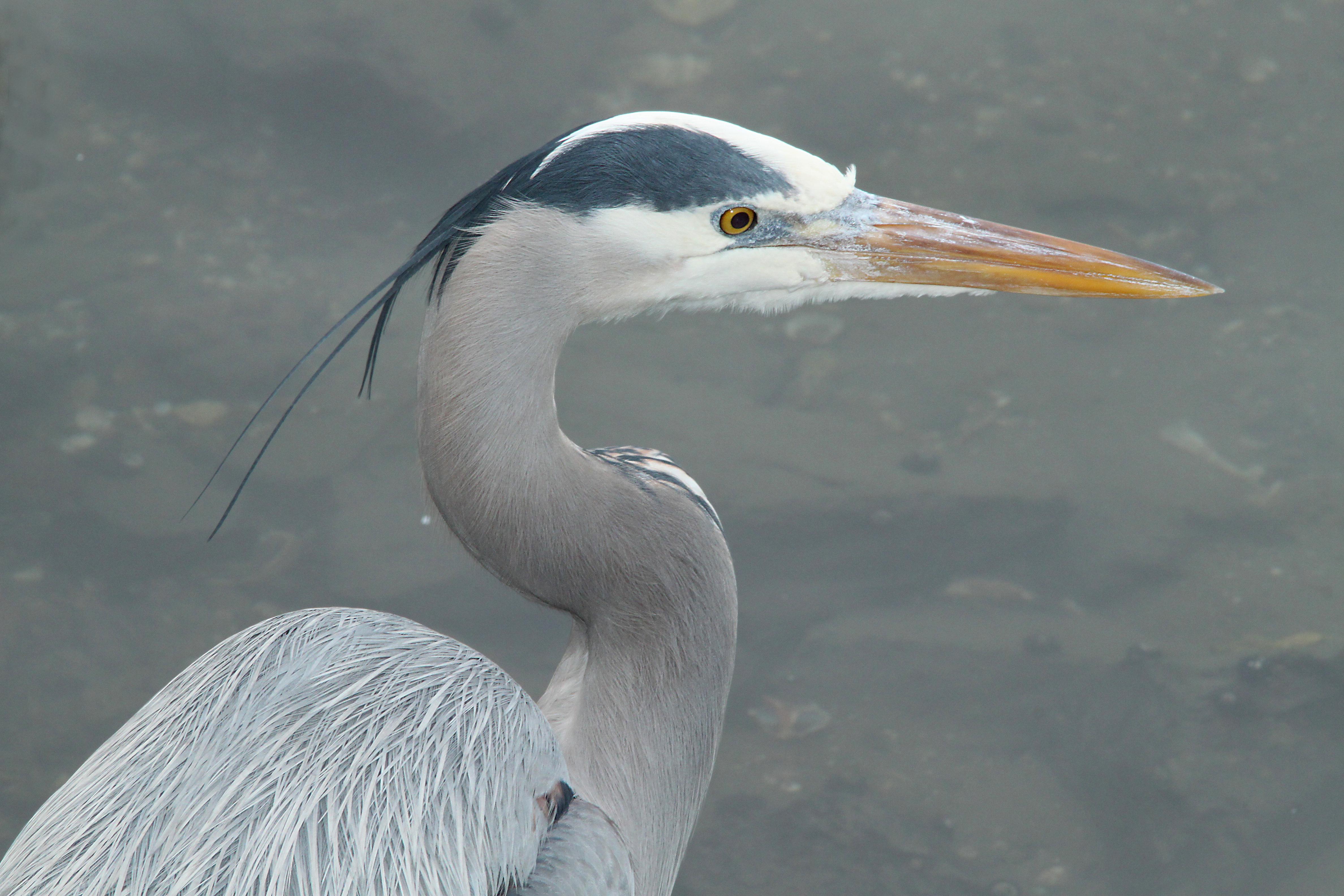 Heron, great blue (1-9-10) morro bay, ca -01 photo