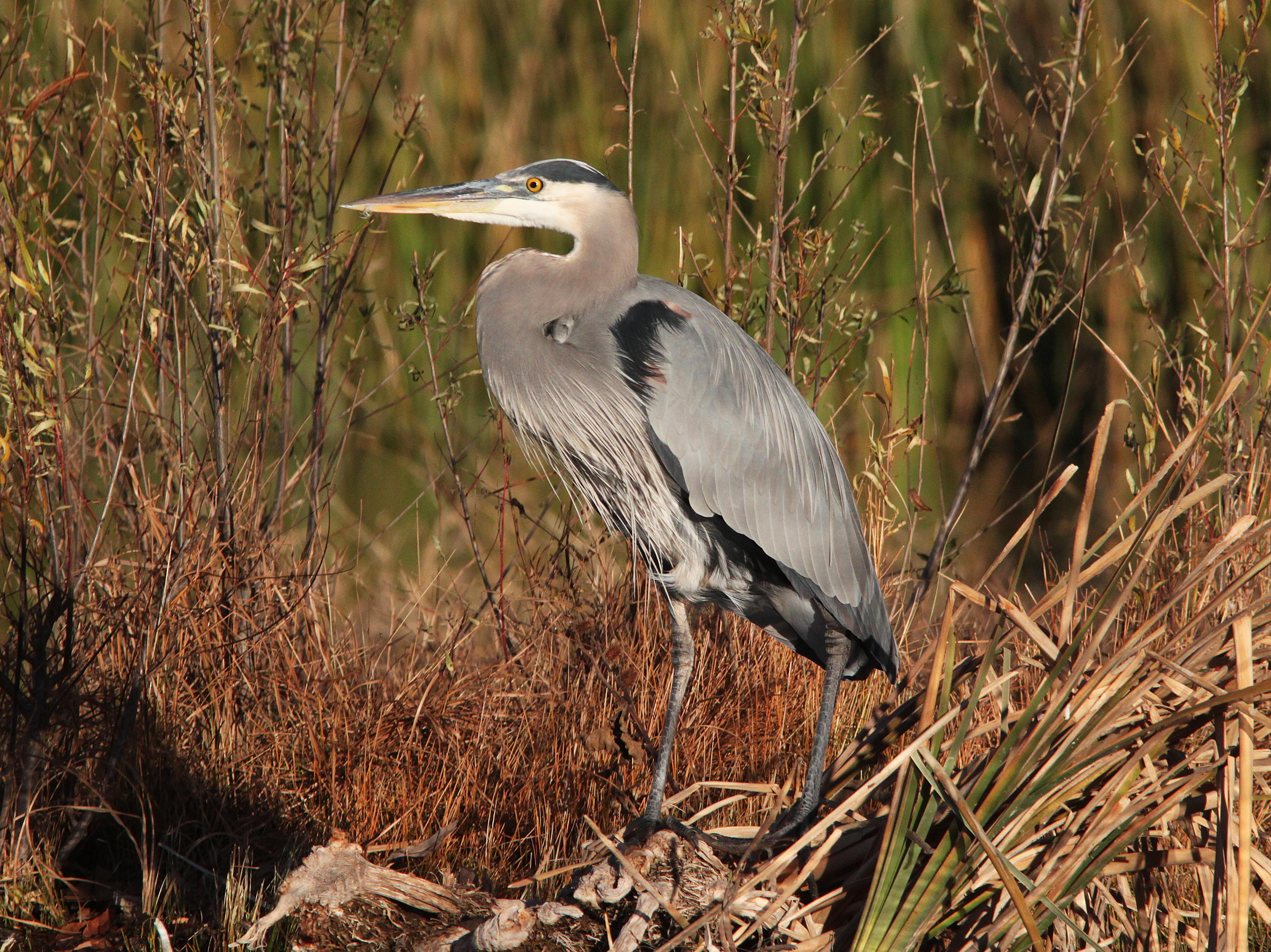 Heron, great blue (12-6-01) patagonia lake, scc, az -03 photo