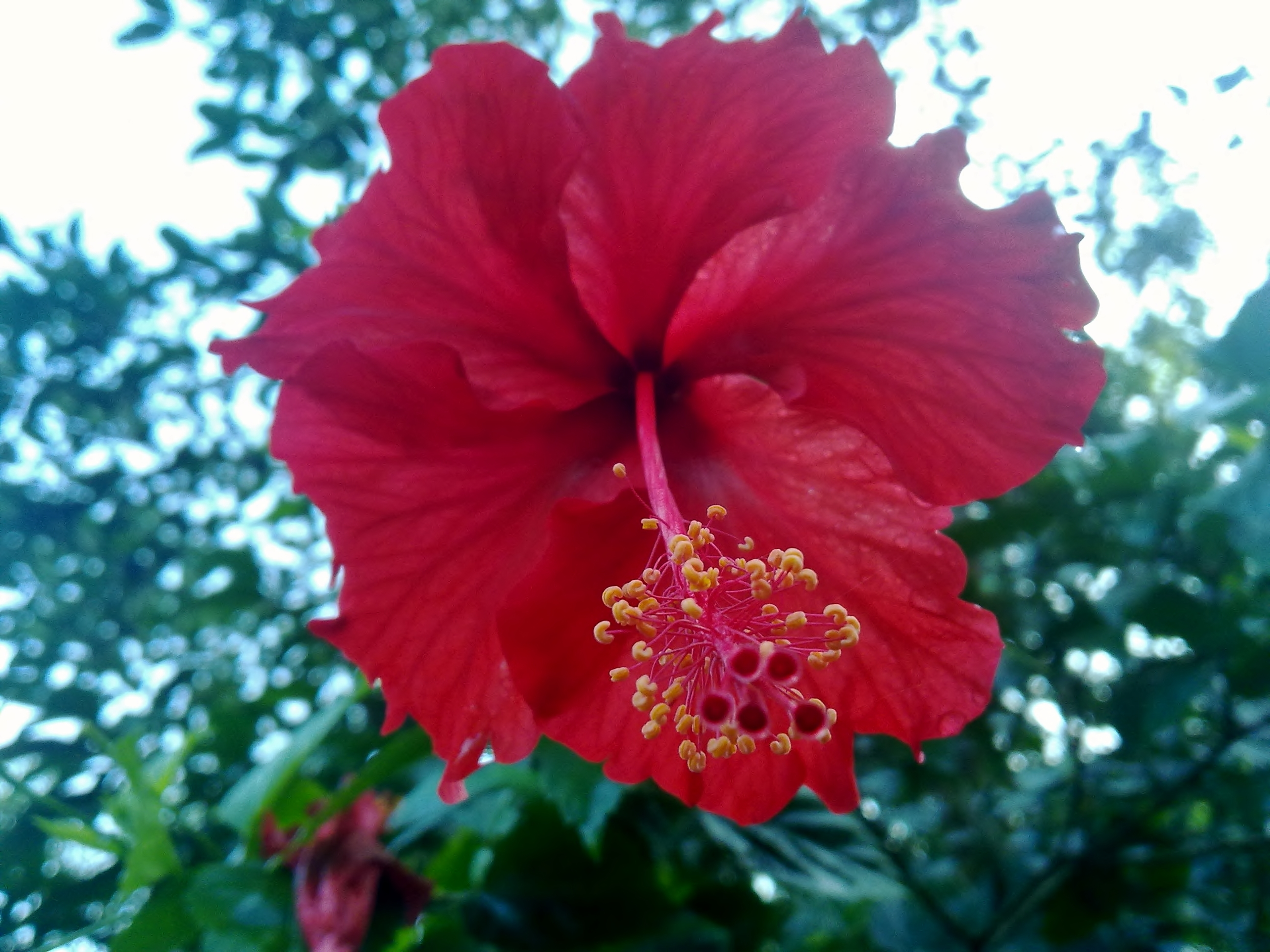 free photo: hibiscus flower - red, wallpaper, nature - non