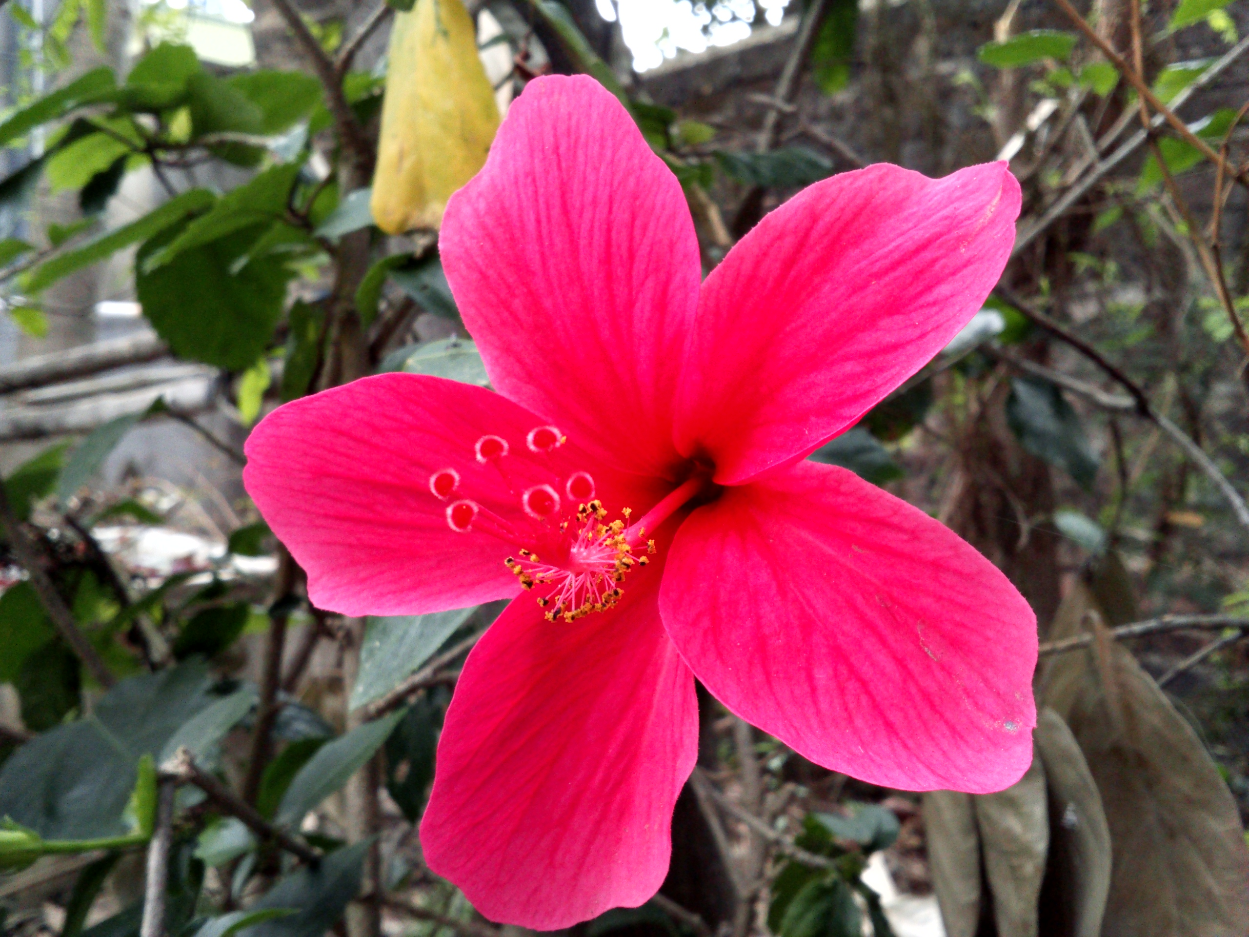 Free photo hibiscus flower rose red hibiscus free download hibiscus flower izmirmasajfo
