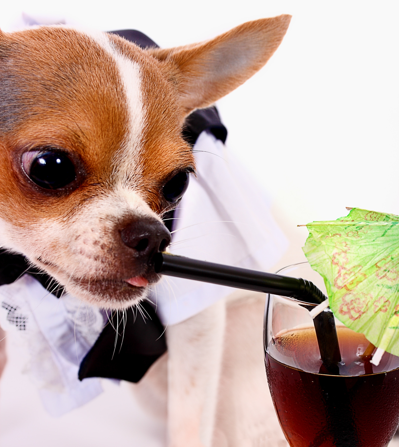 High Class Thirsty Chihuahua Having A Drink, Adorable, Glass, Sucking, Straw, HQ Photo