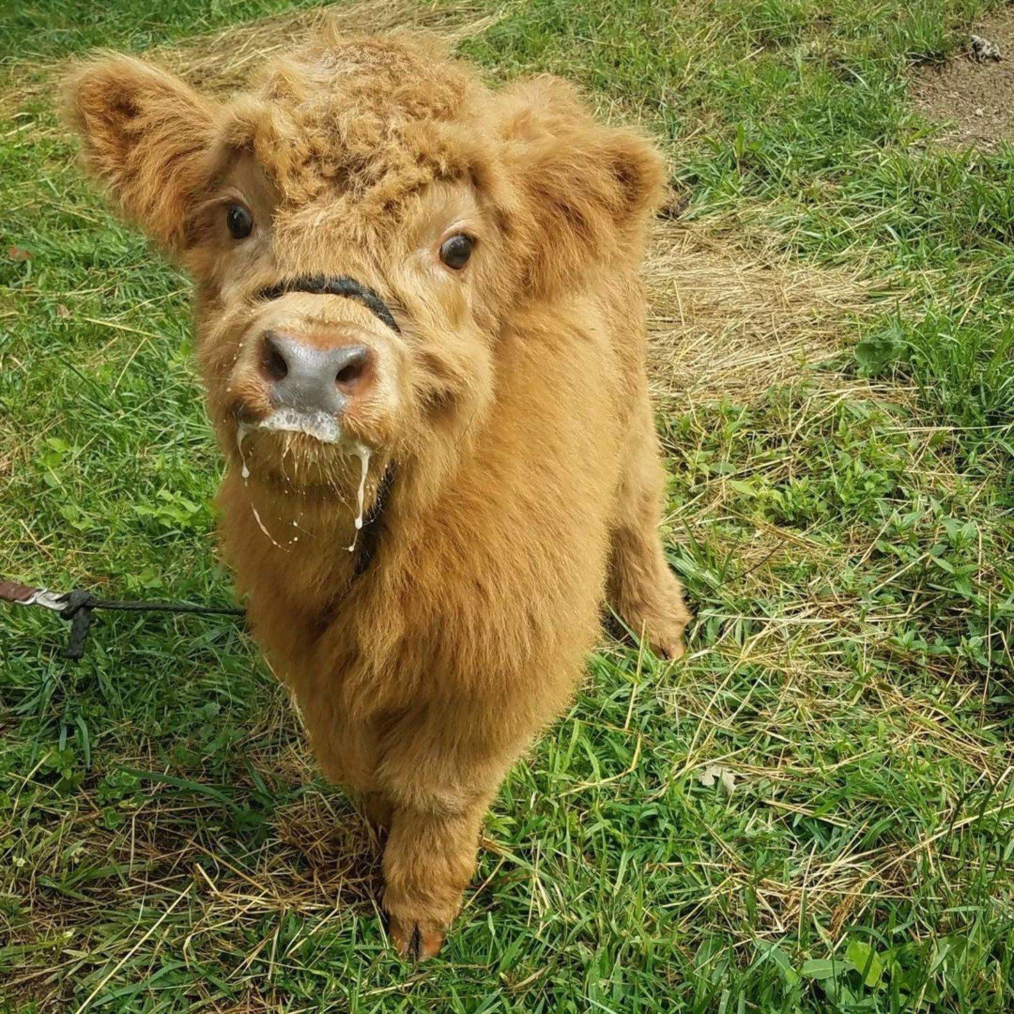 Highland cow photo