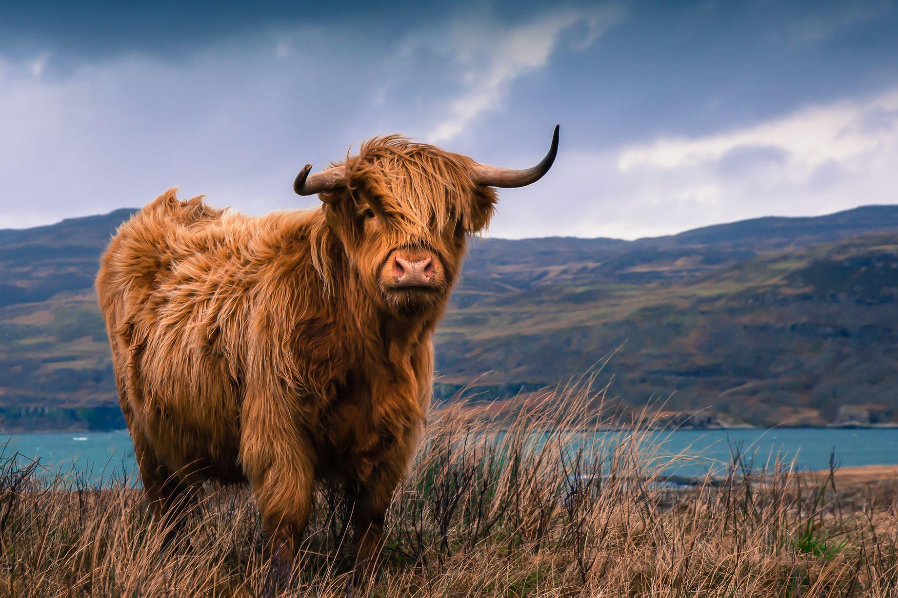 Highland's cow photo