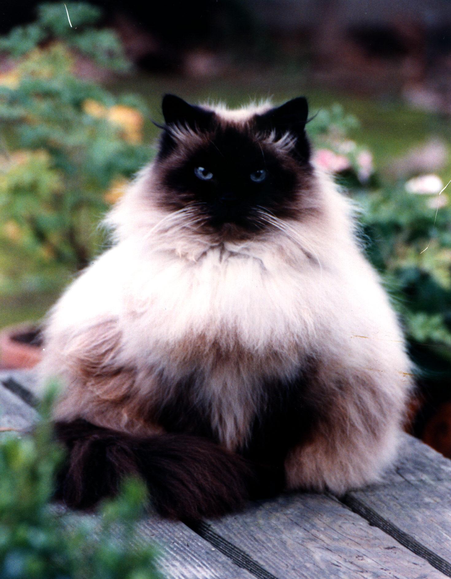 The Original Himalayan Cat FAQs