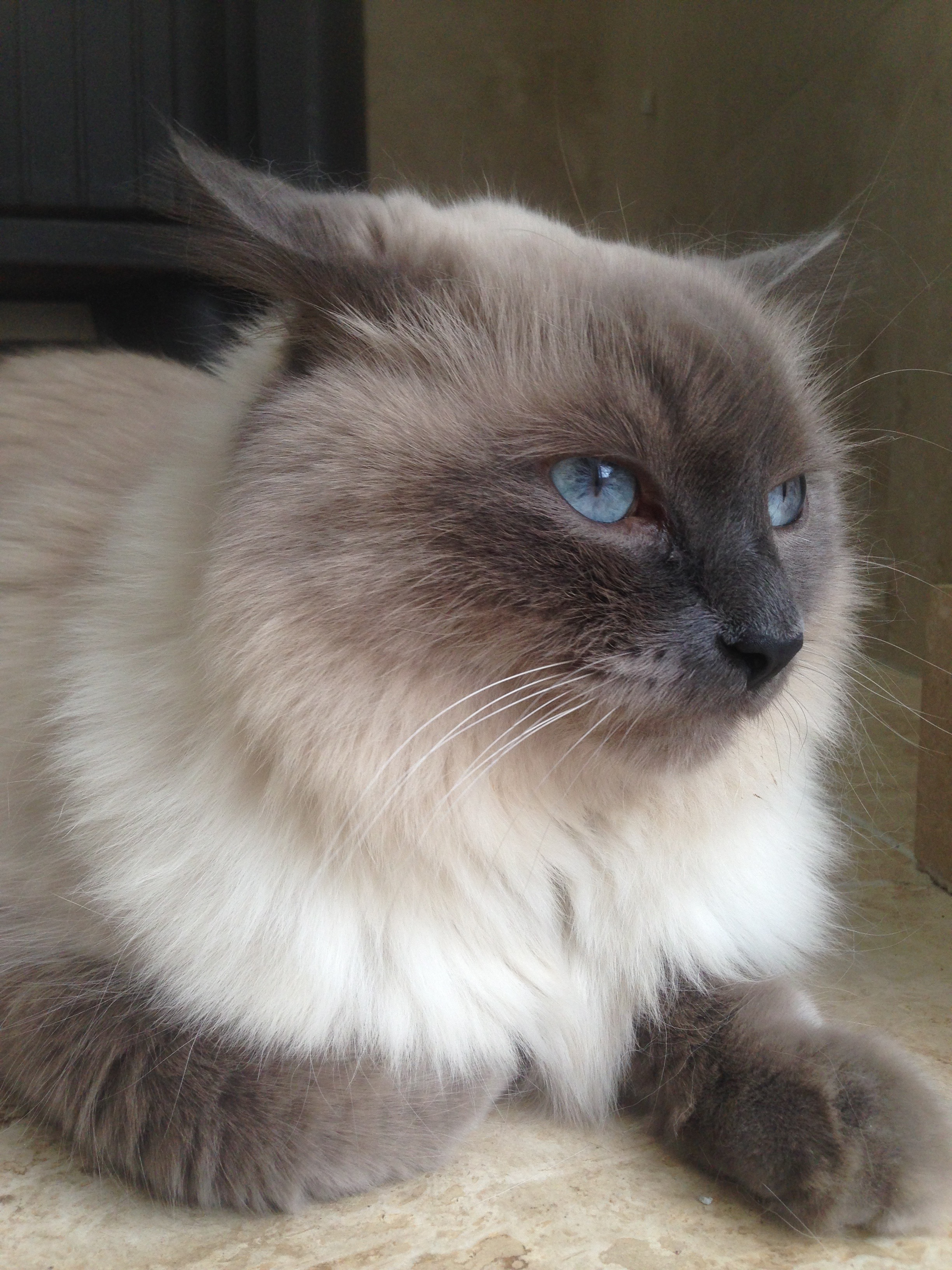 File:Himalayan Male Cat 5 years Old Lilac Point.jpg - Wikimedia Commons
