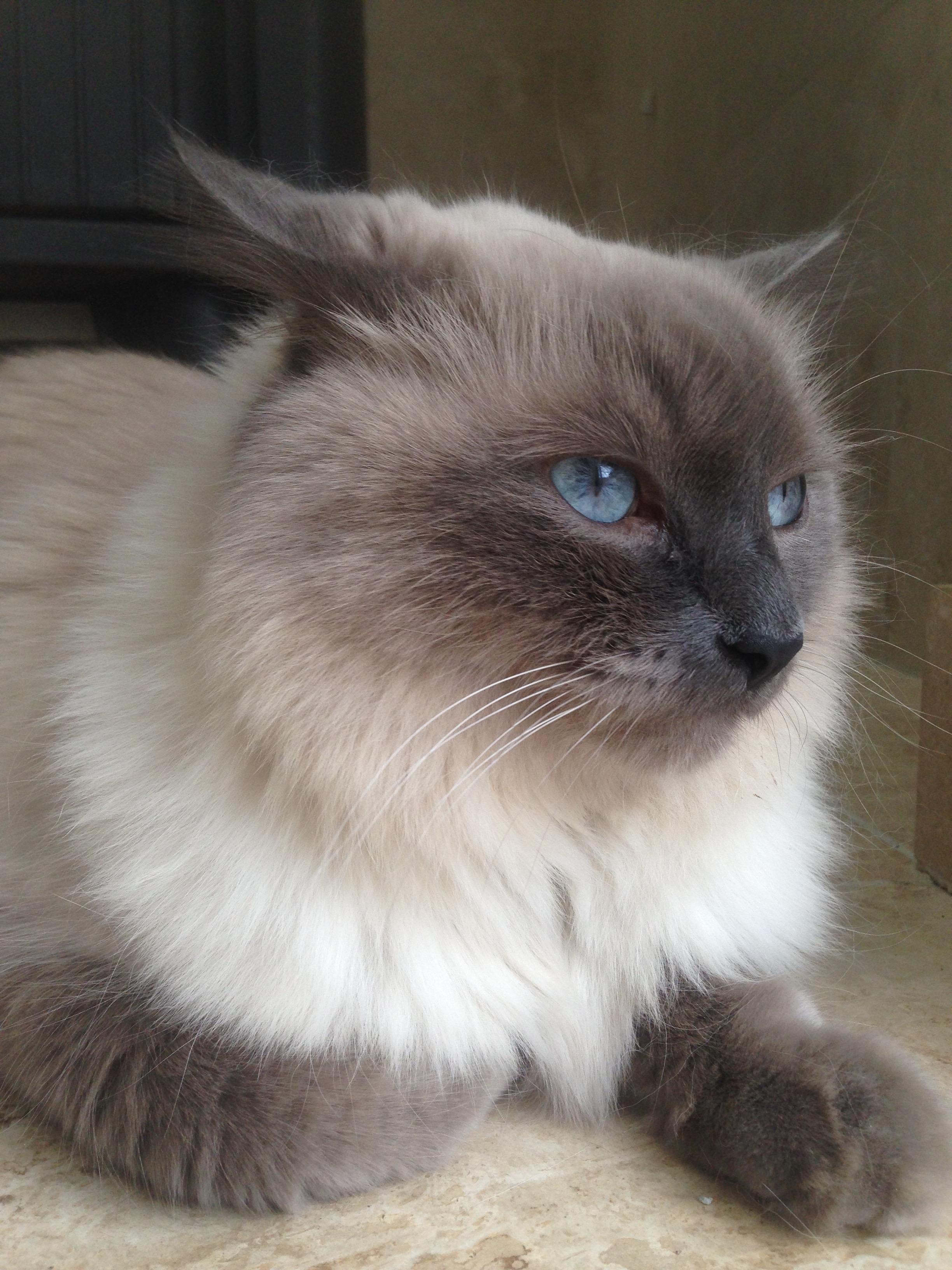 Himalayan cat photo