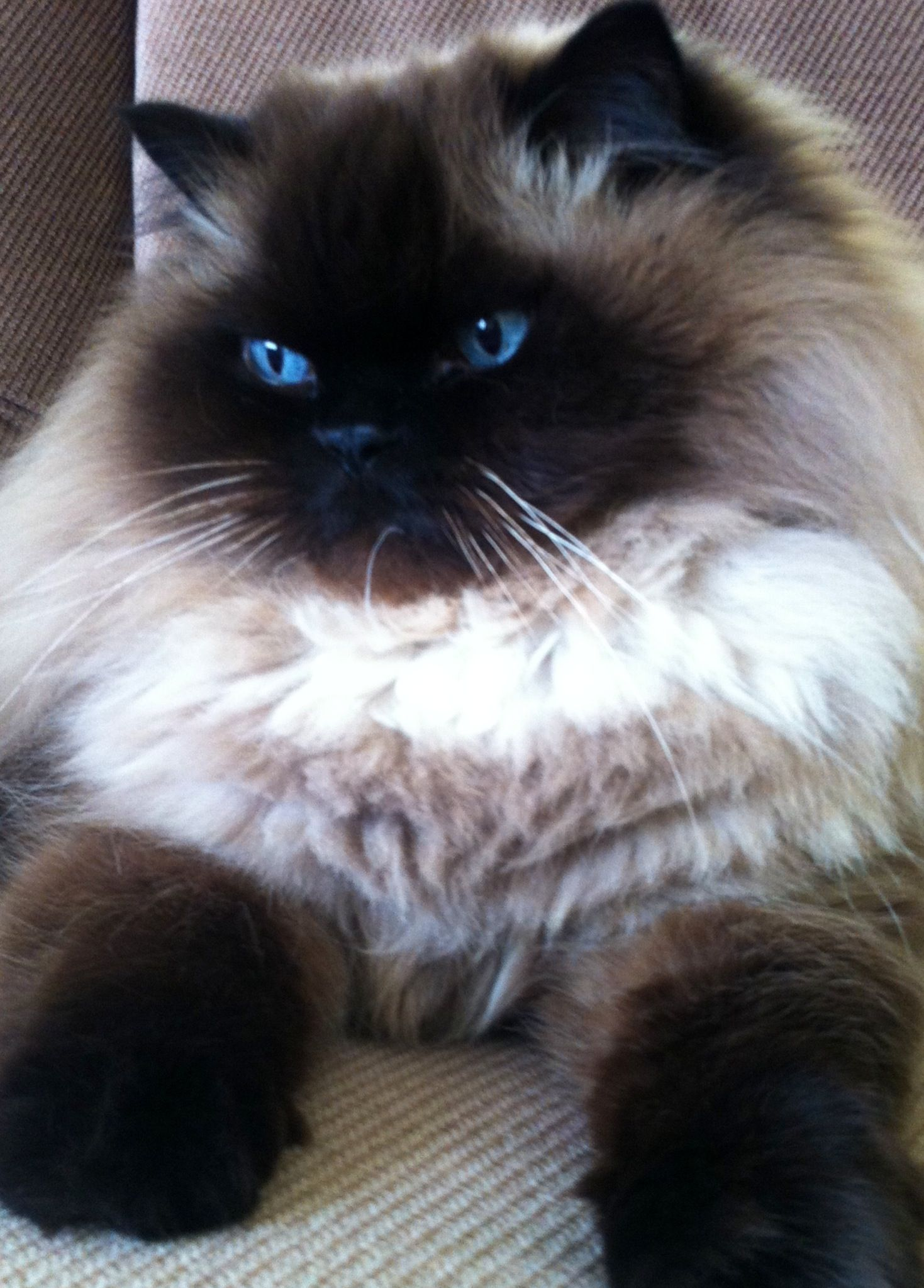 The Himalayan is the most beautiful cat I've ever seen. I'm a dog ...