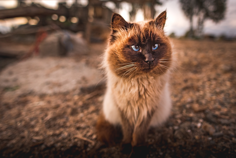 Free Photo Himalayan Cat Adorable Animal Animal Photography Free Download Jooinn
