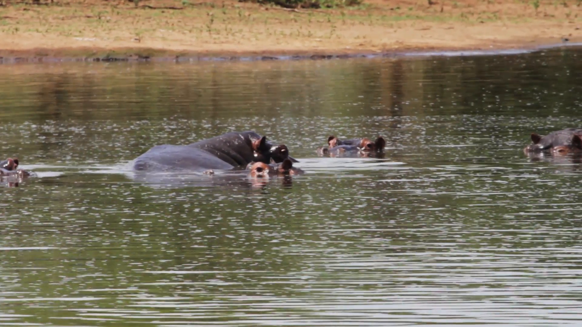 Hippos in water photo
