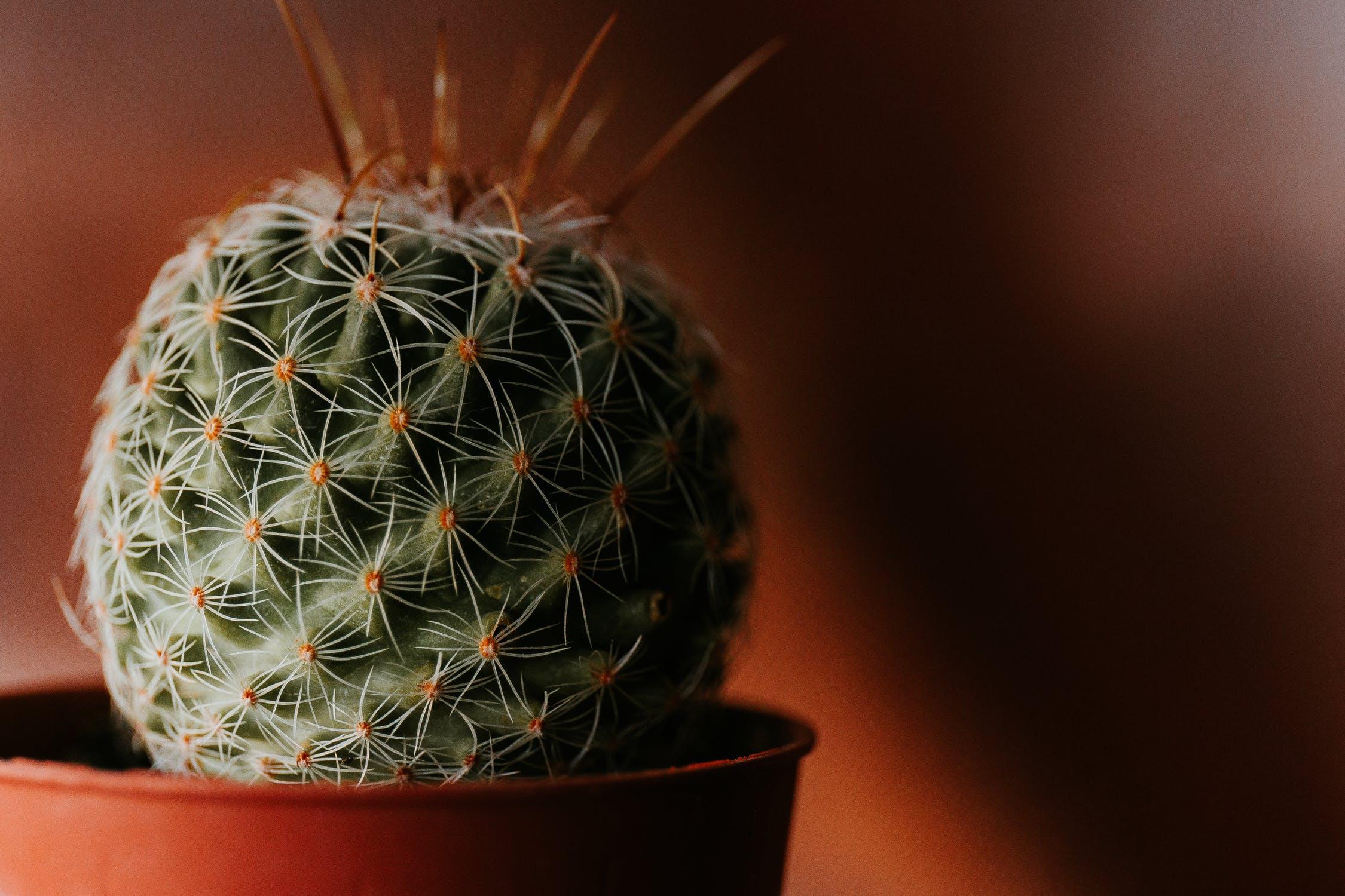 Home cactus, Home cactus