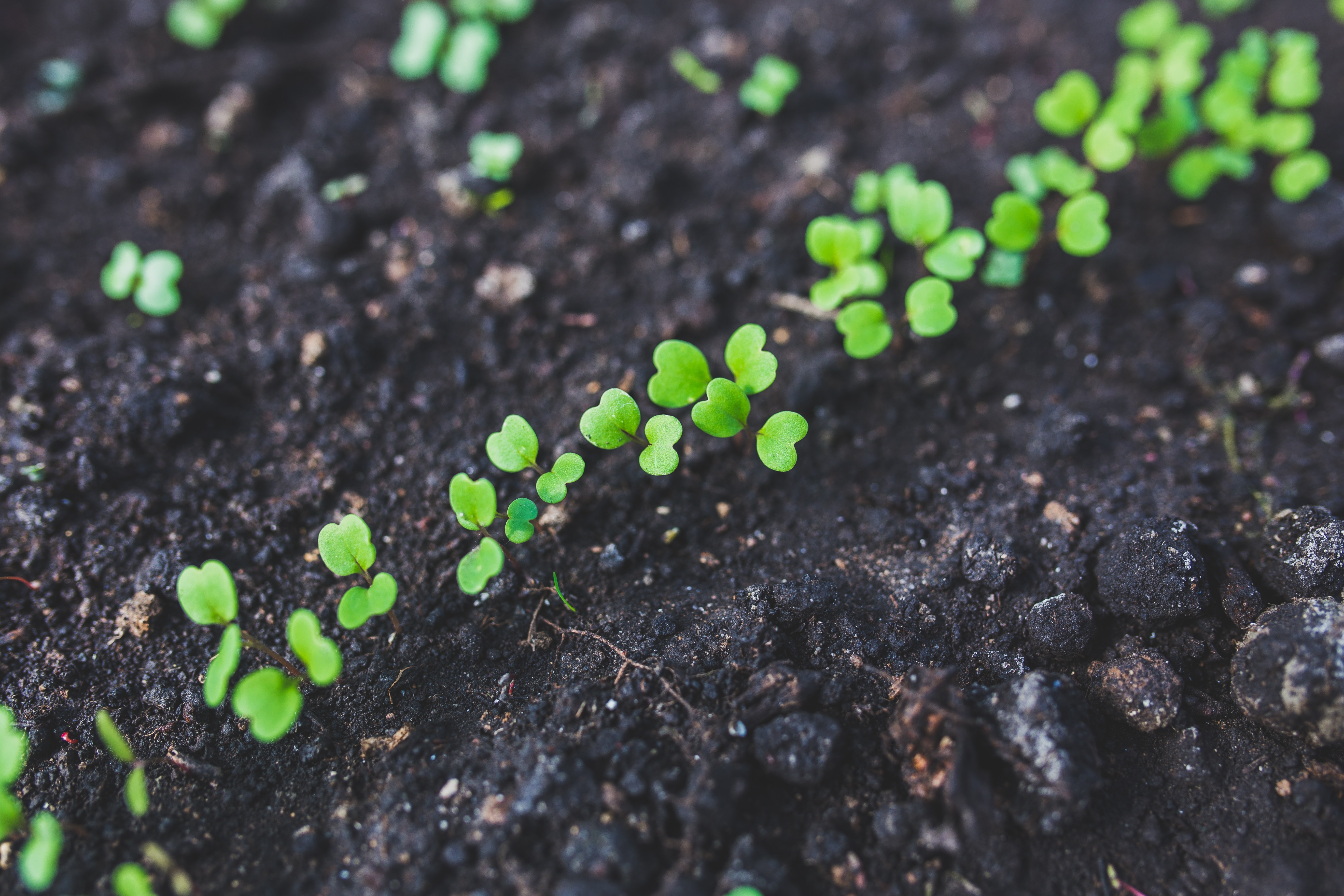 Home gardening - young rucola - top view, Leaves, Young, Sprout, Soil, HQ Photo