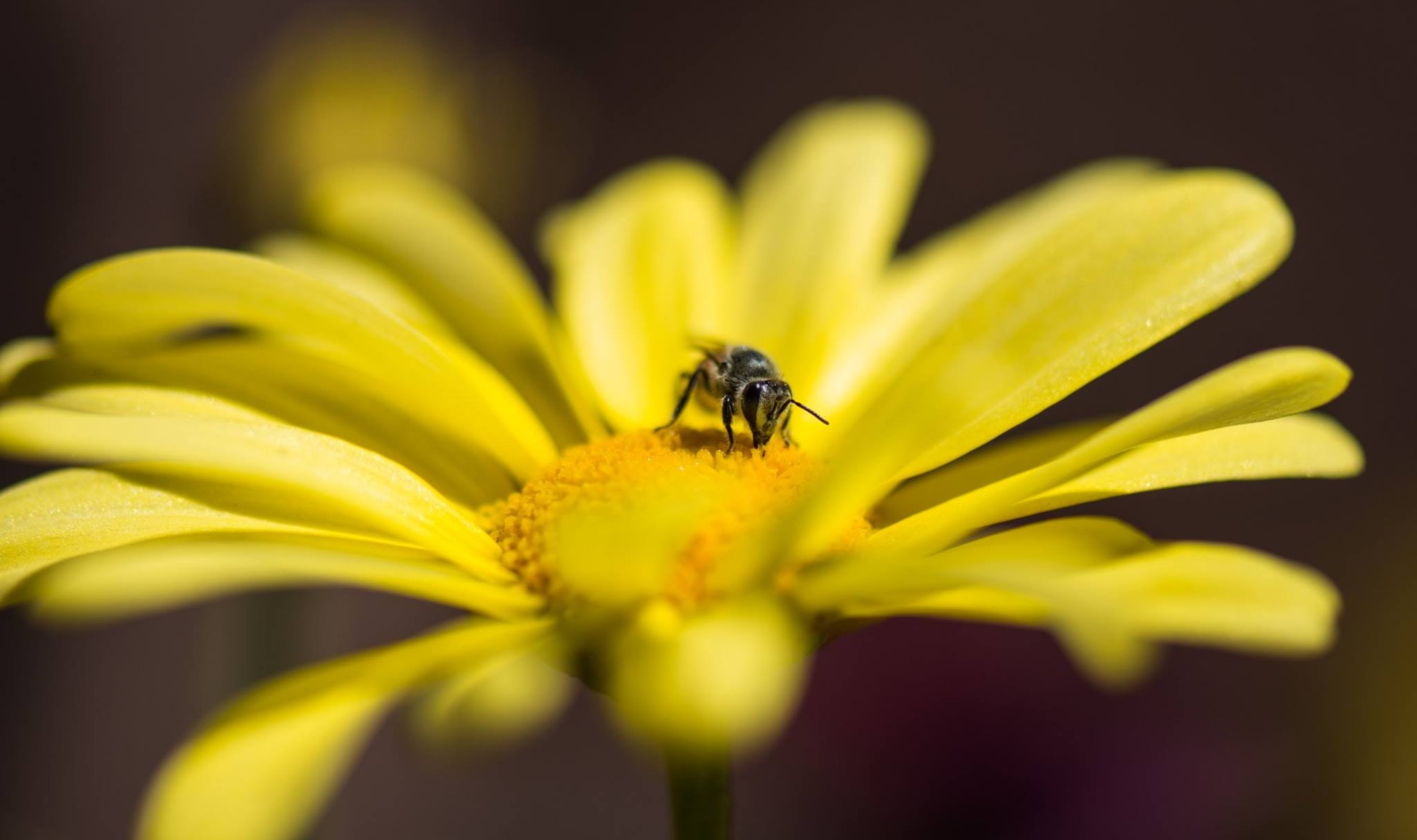 Honeybee Perched on Yellow Petaled Flower in Closeup Photo, Macro, Little, Landscape, Insect, HQ Photo