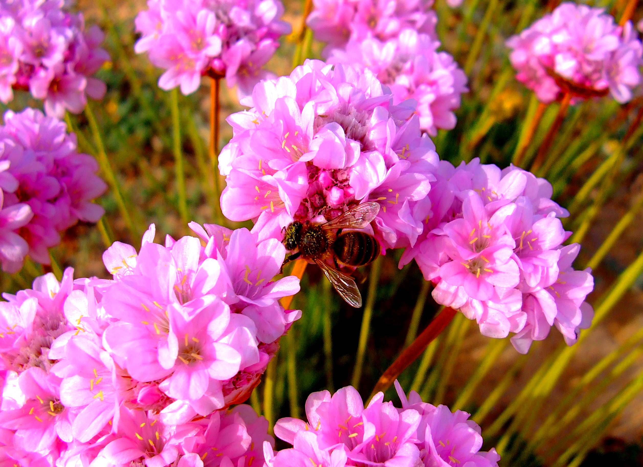 Honeybee pollinating spiny thrift photo