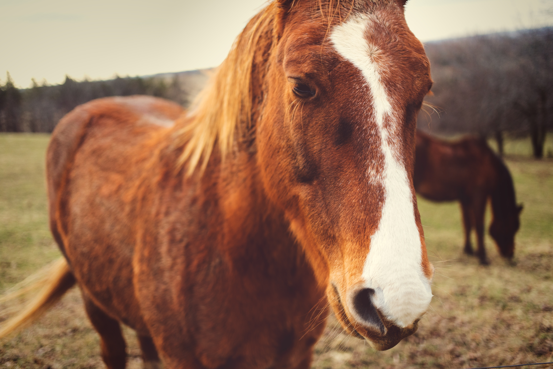 Horse, Animal, Brown, Pet, HQ Photo