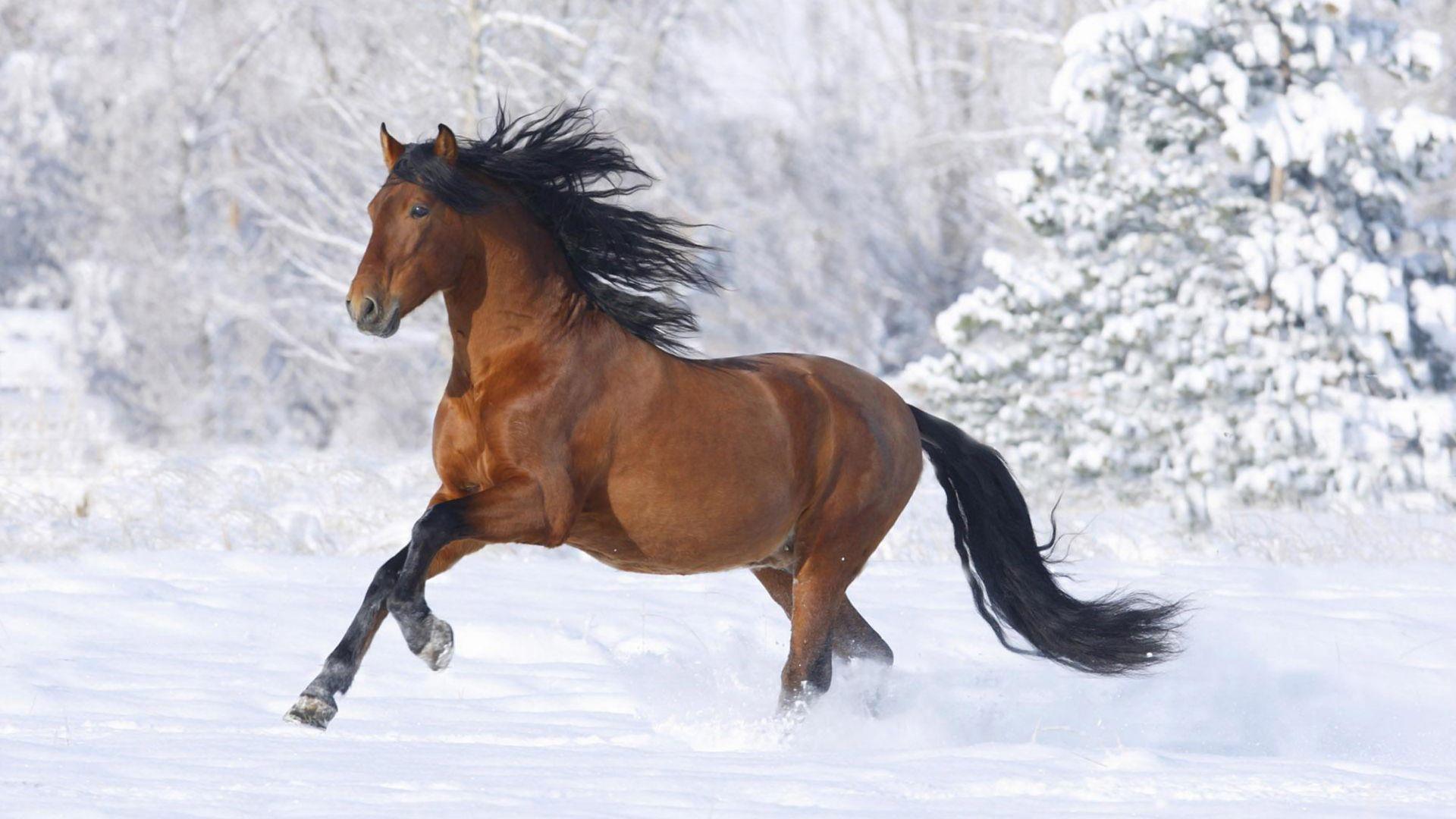 Horse Running in Snow Wallpaper - Wallpaper Stream