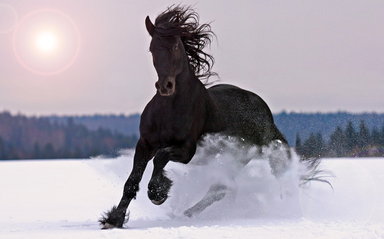 Large Black Horse Galloping In Snow Beautiful Desktop Wallpaper Hd ...