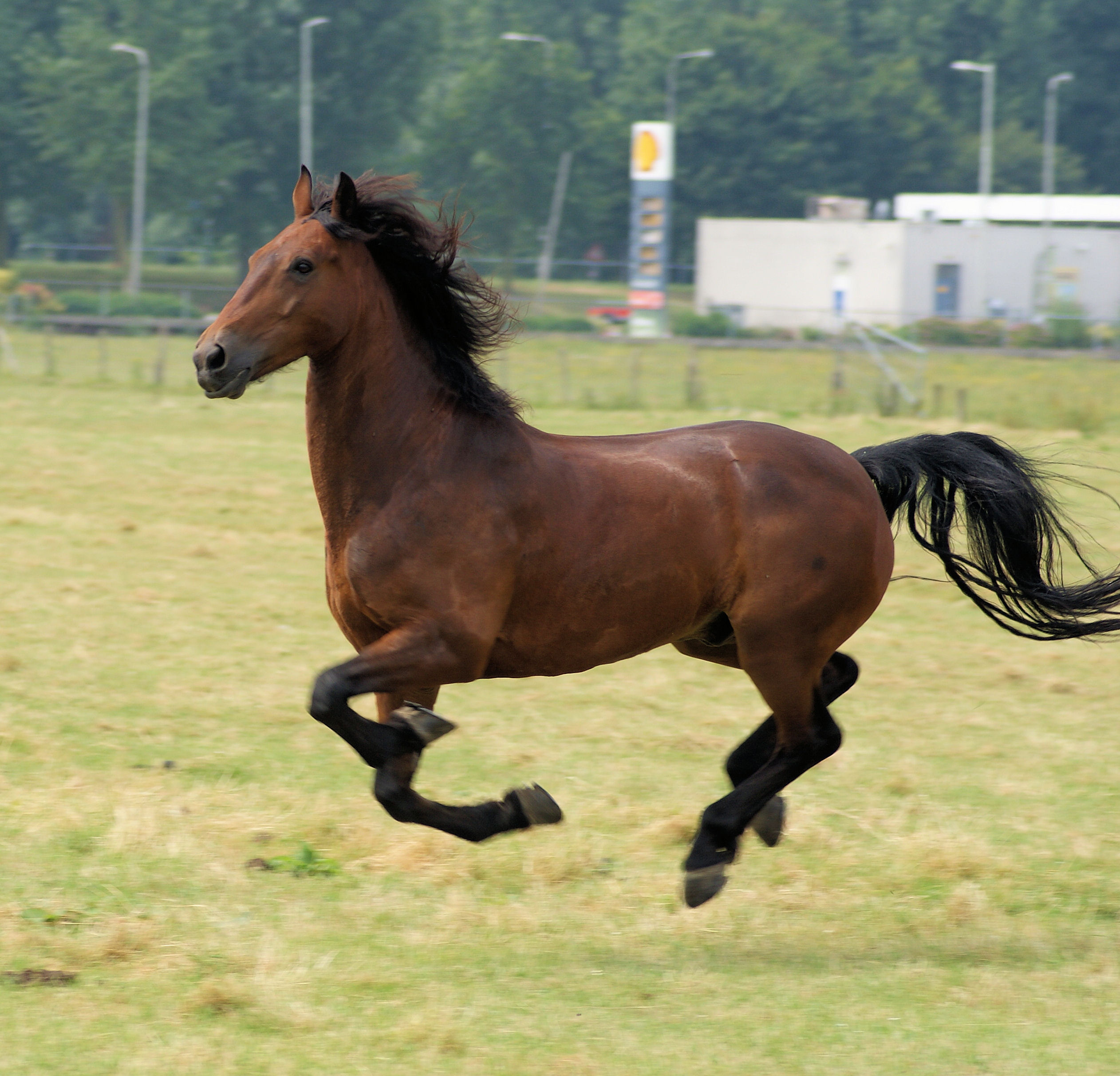 Horse in the netherlands photo