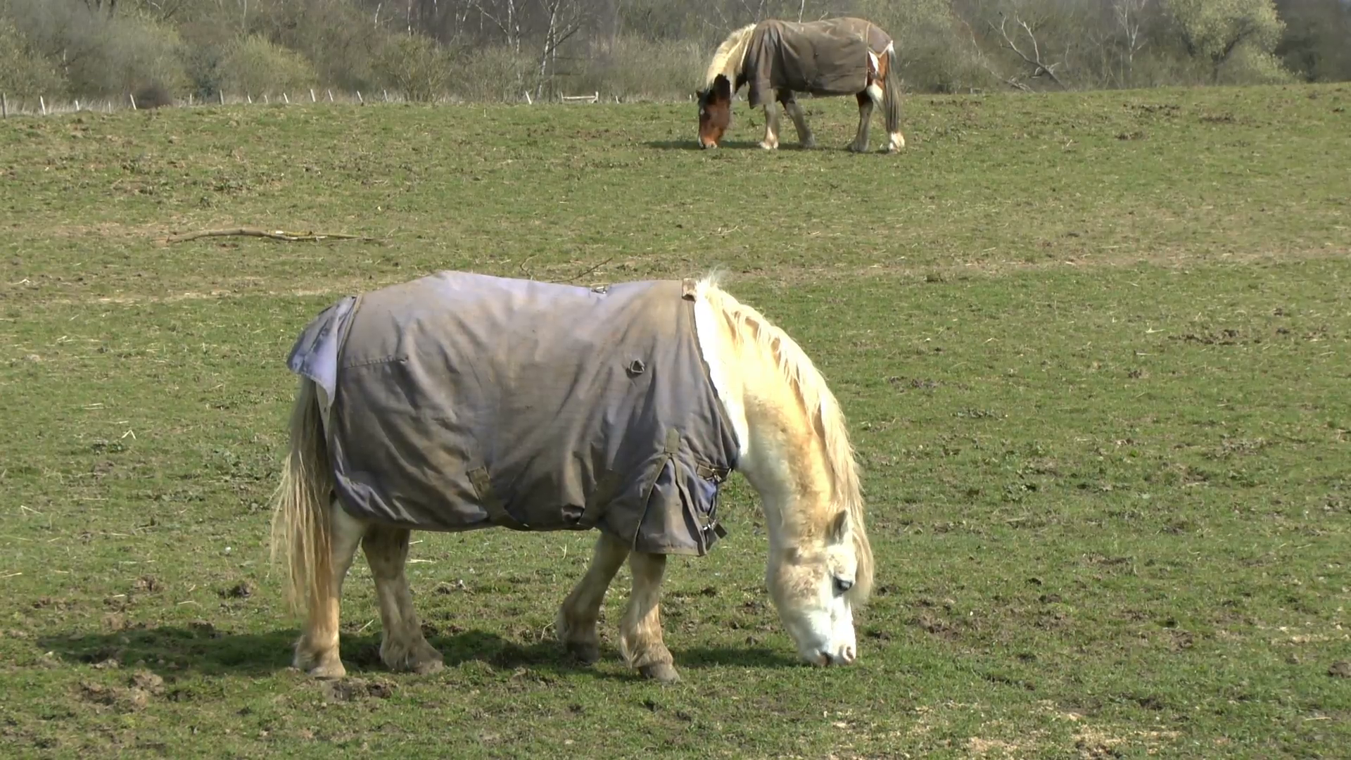 Footage of two horses grazing in a field wearing a Horse blanket ...
