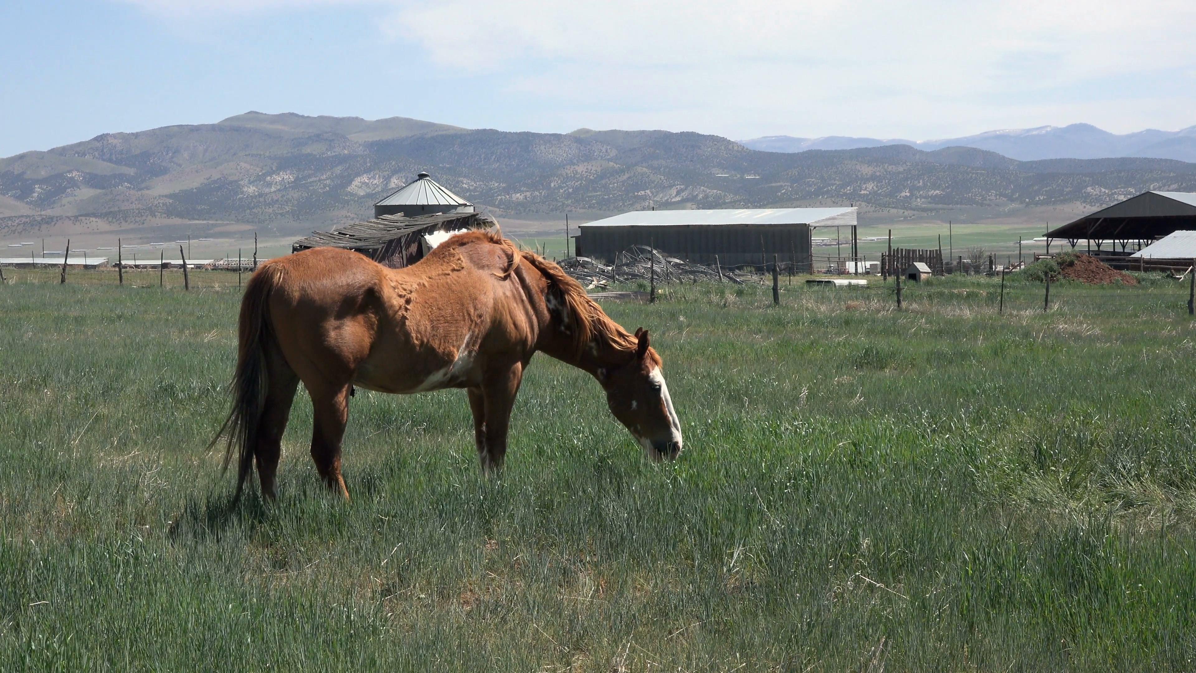 Horse grazing farm field sway back 4K 042 Stock Video Footage ...