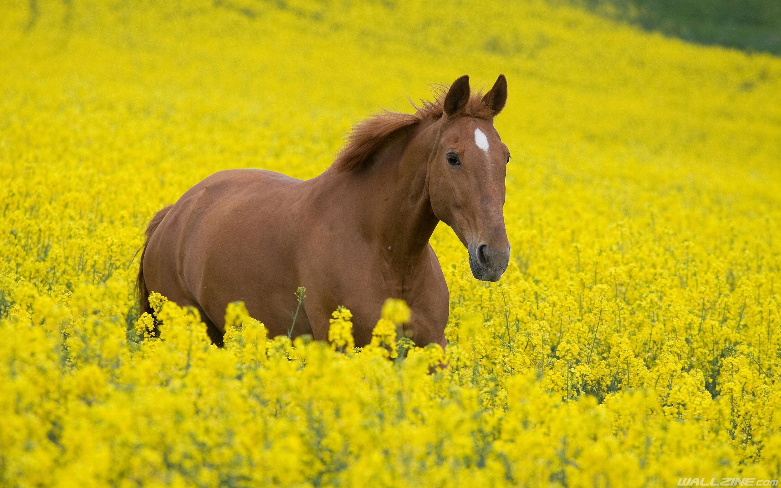 Horse Canola Field Wallpaper | HD Desktop Wallpapers | Pinterest ...