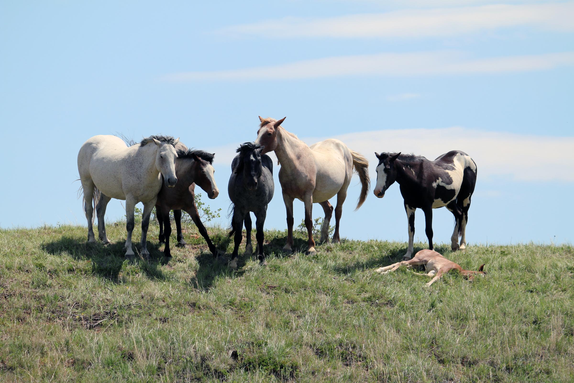 Wild Horses in Theodore Roosevelt National Park in North Dakota ...