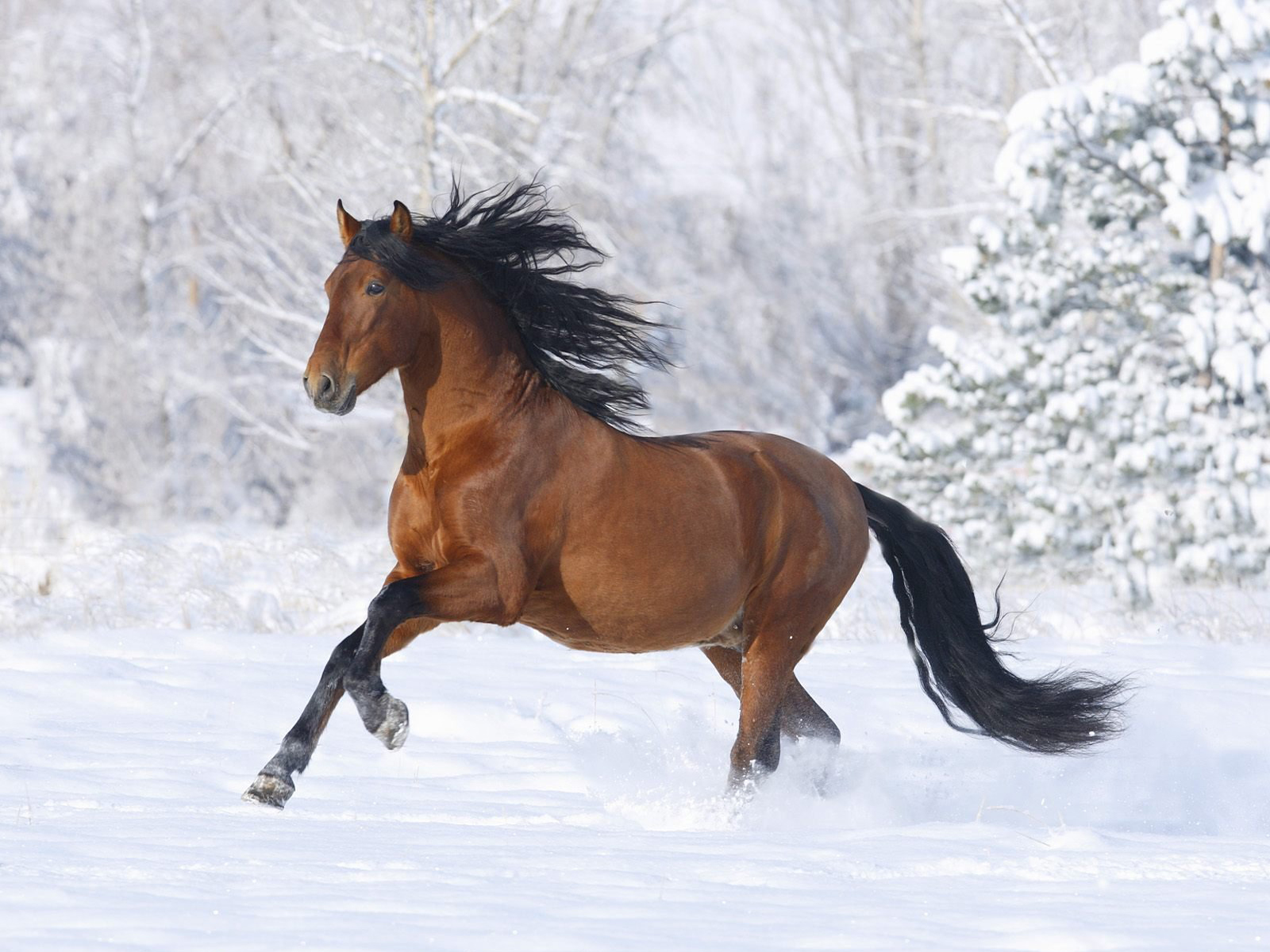 Horse on the snow / 1600 x 1200 / Animals / Photography   MIRIADNA.COM
