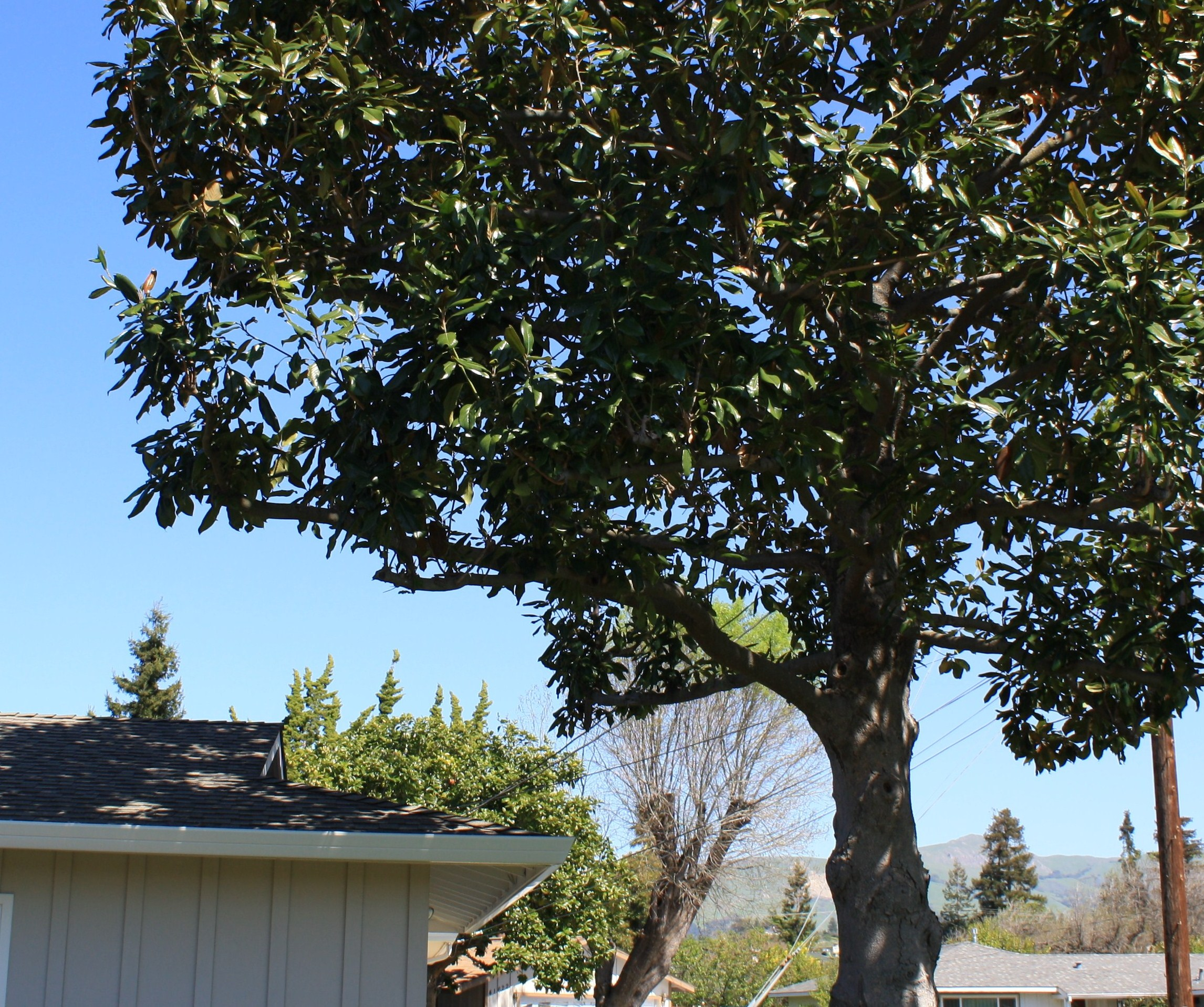 Big tree - too close to the house? (lawn, grass, magnolia) - Garden ...