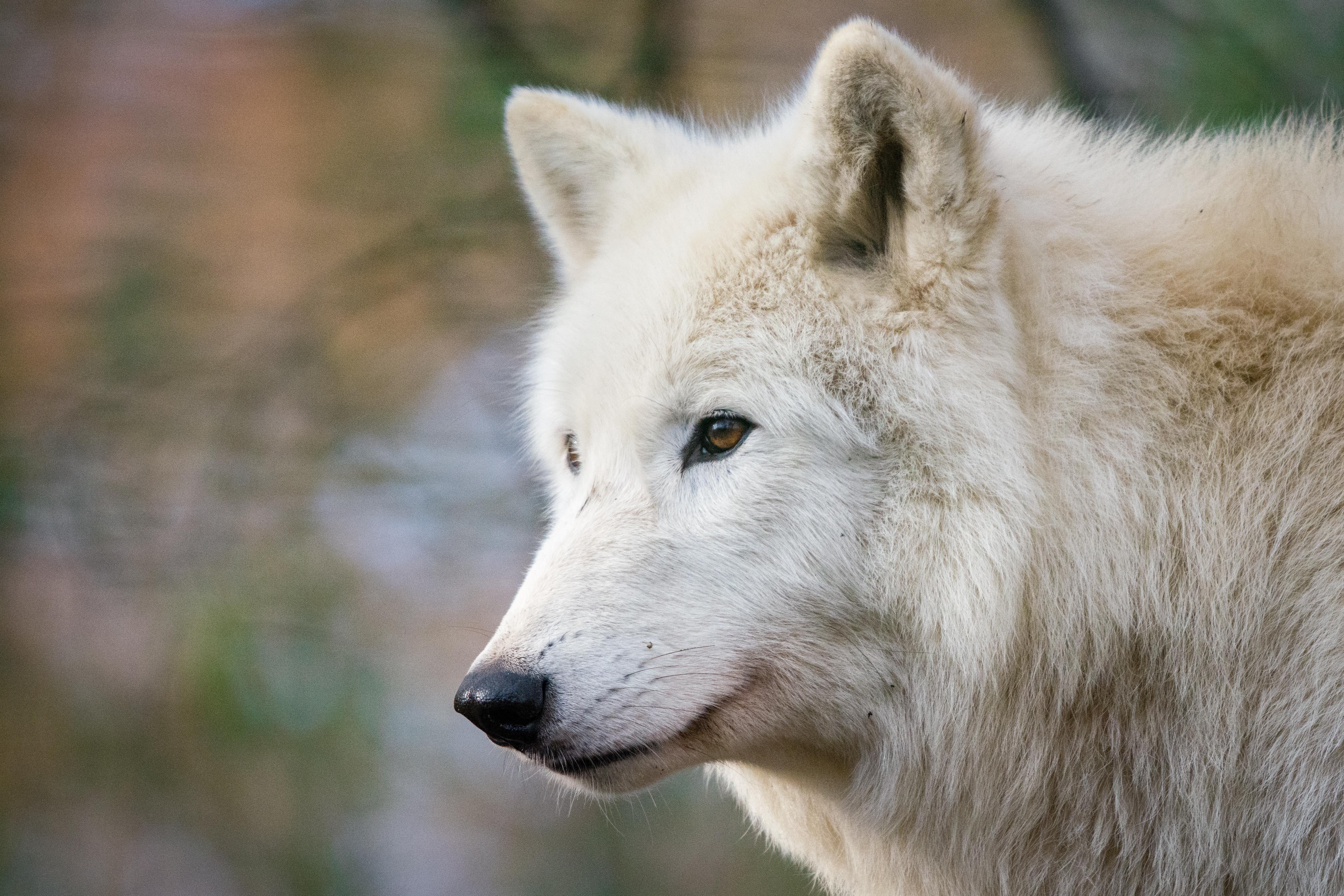 Hudson Bay Wolf, 80-200mm, Tail, Rocks, Schnee, HQ Photo