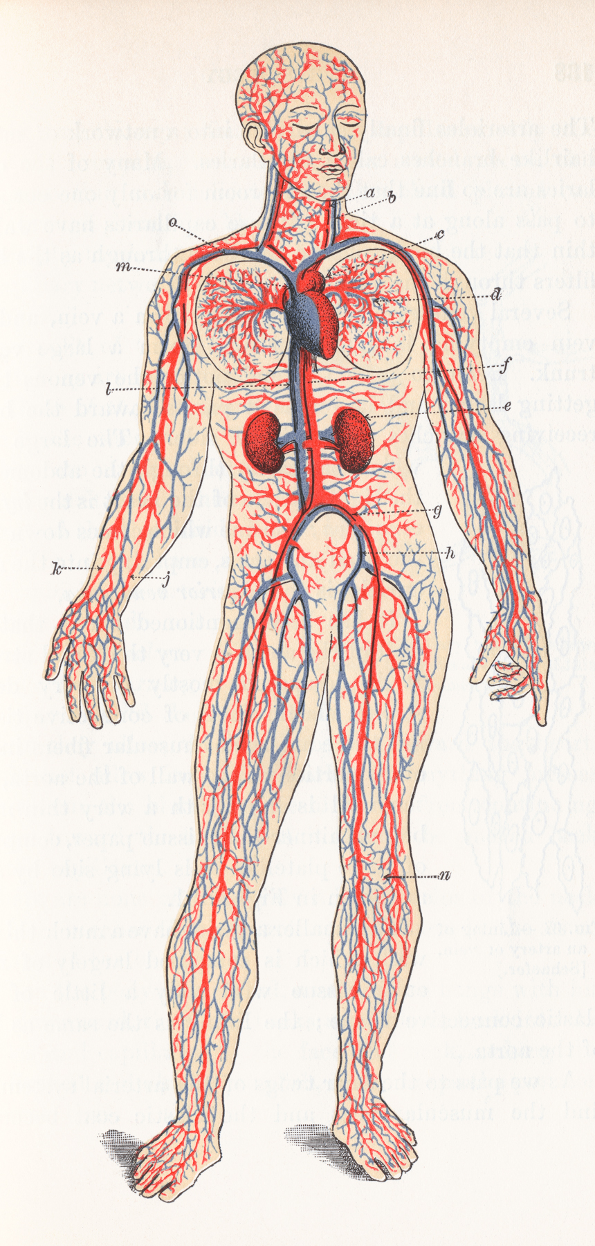Human Blood Circulation, Circa 1911, Academical, Medical, Organs, Organ, HQ Photo