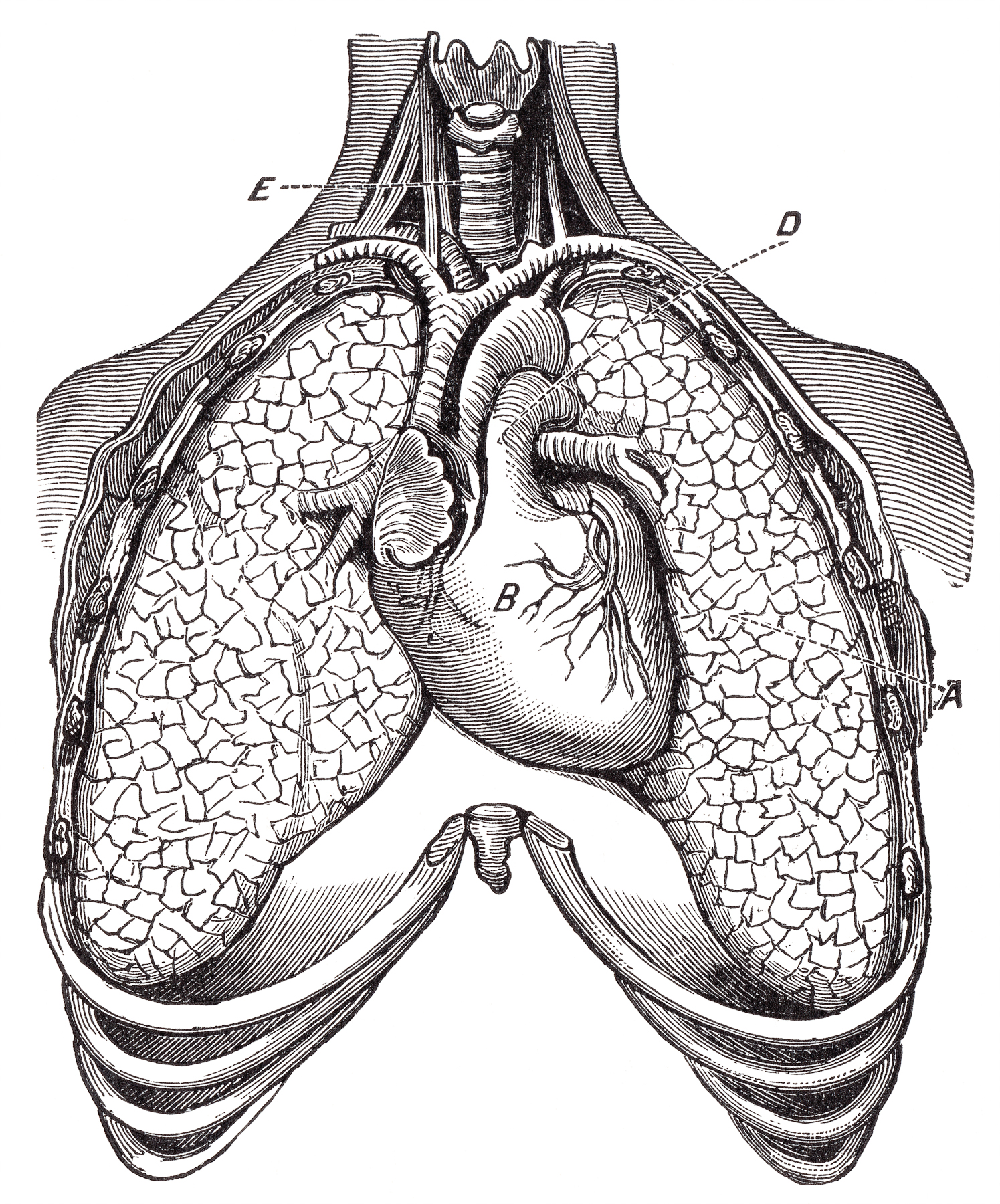 Free Photo Human Heart Lungs Circa 1911 Resource Picture