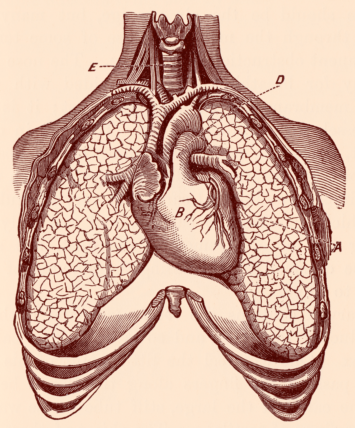 Free photo: Human Heart & Lungs, Circa 1911 - Resource, Picture ...