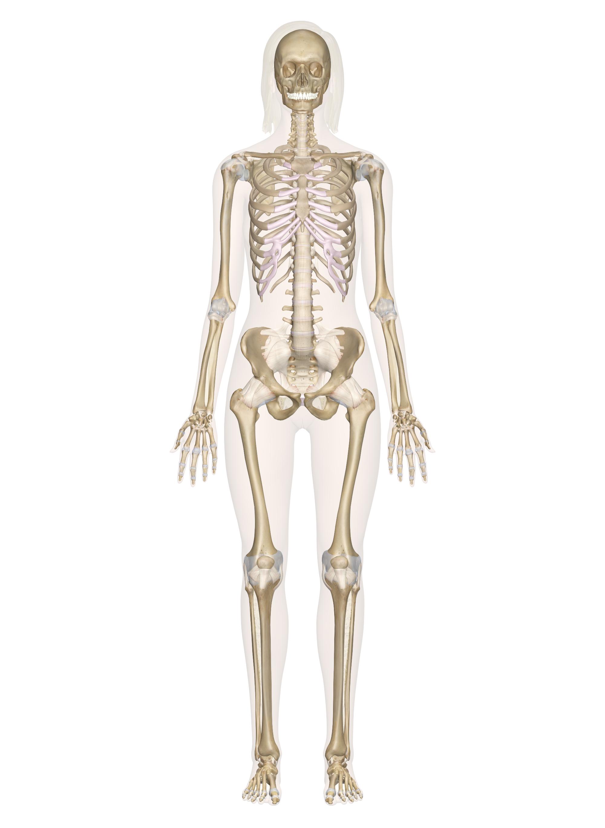 Free Photo Human Skeleton Skeleton Human Graphics Free
