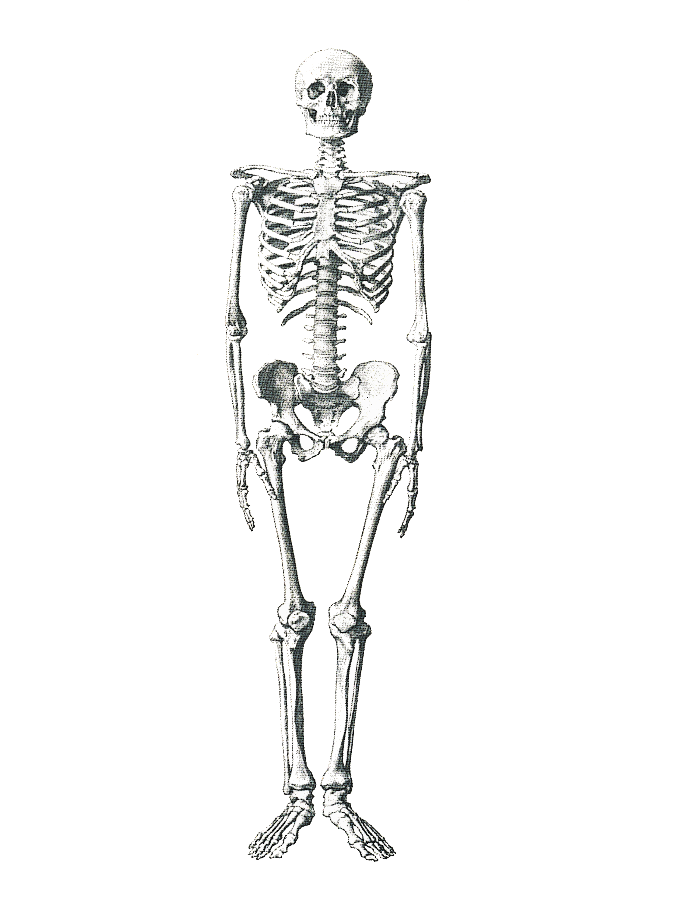 free photo  human skeleton