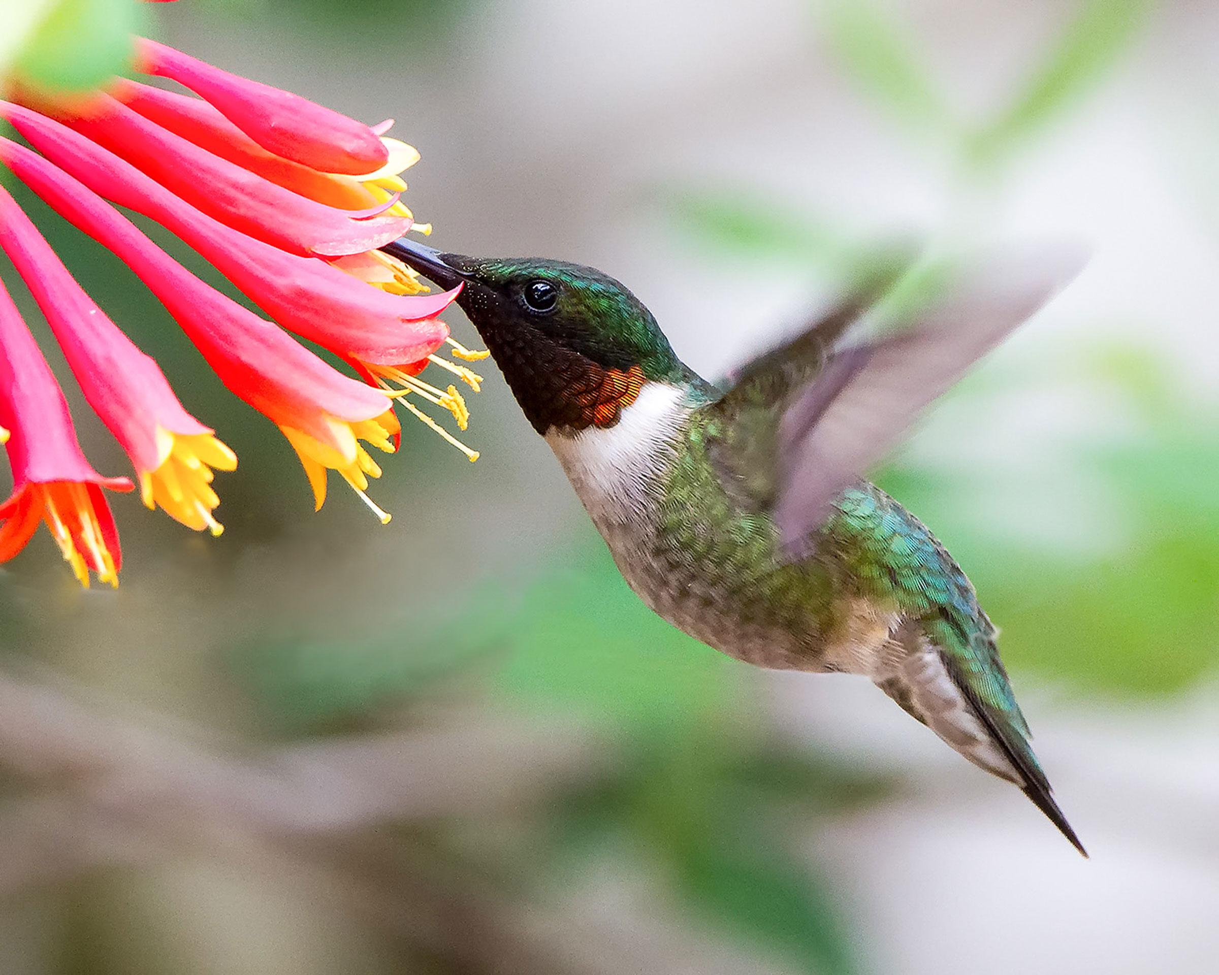 Create a Hummingbird Haven With Native Flowering Plants | Audubon