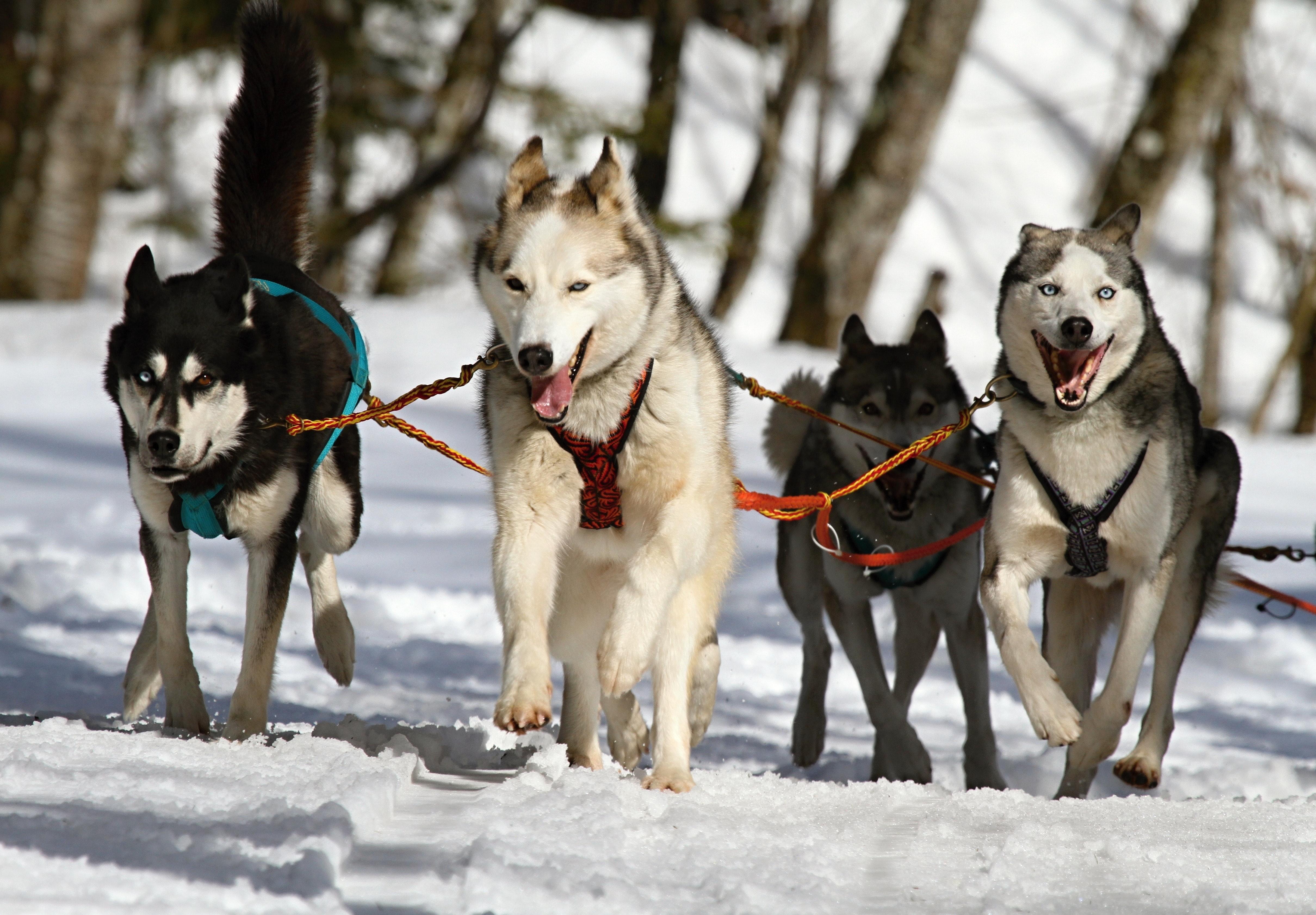 Huskeys driving sled through white snow photo