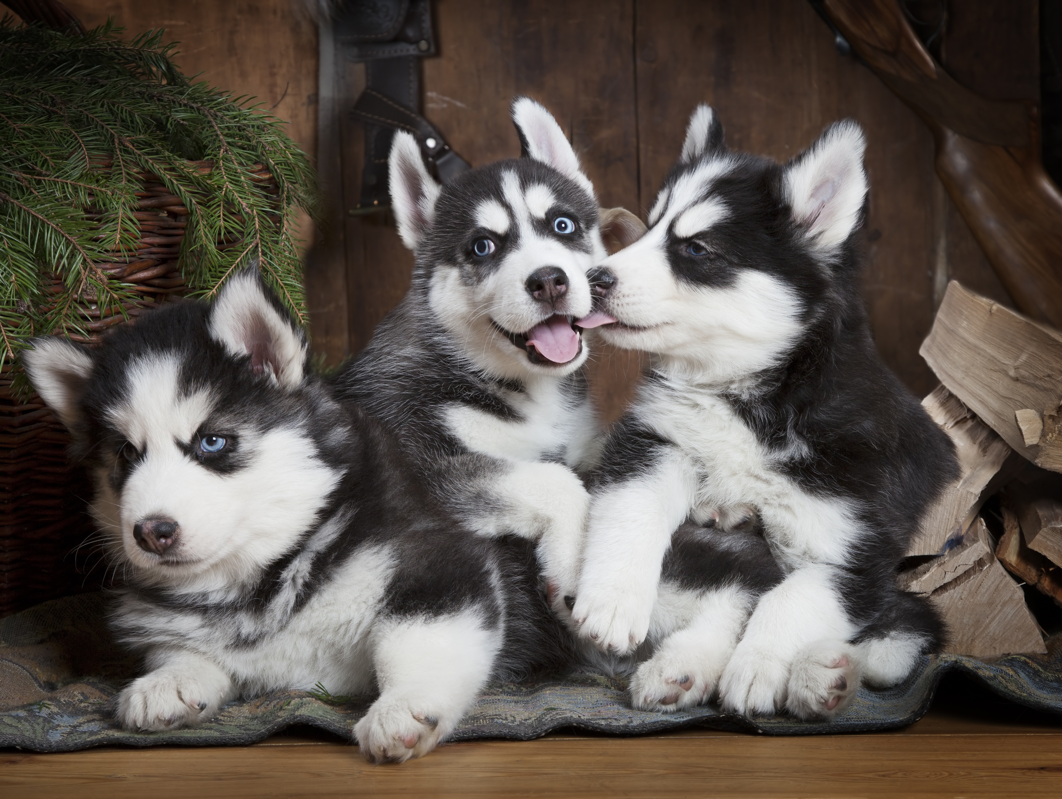 Husky Abandonment Is Turning into a Serious Problem