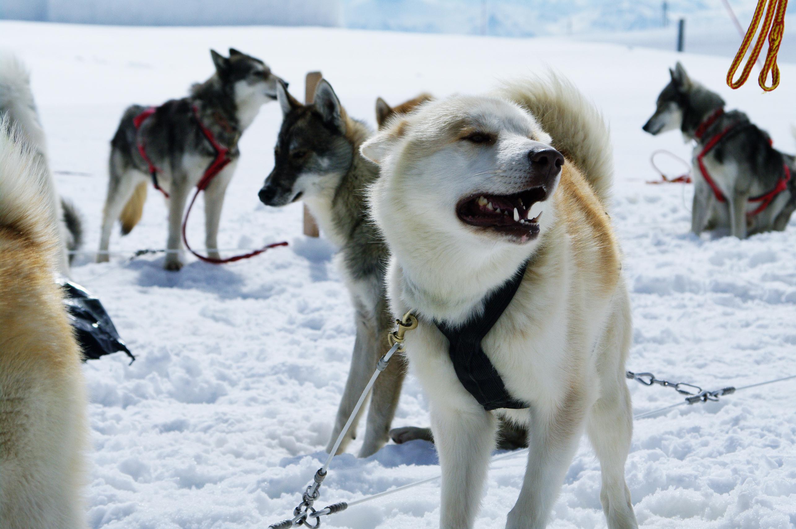 Huskies photo