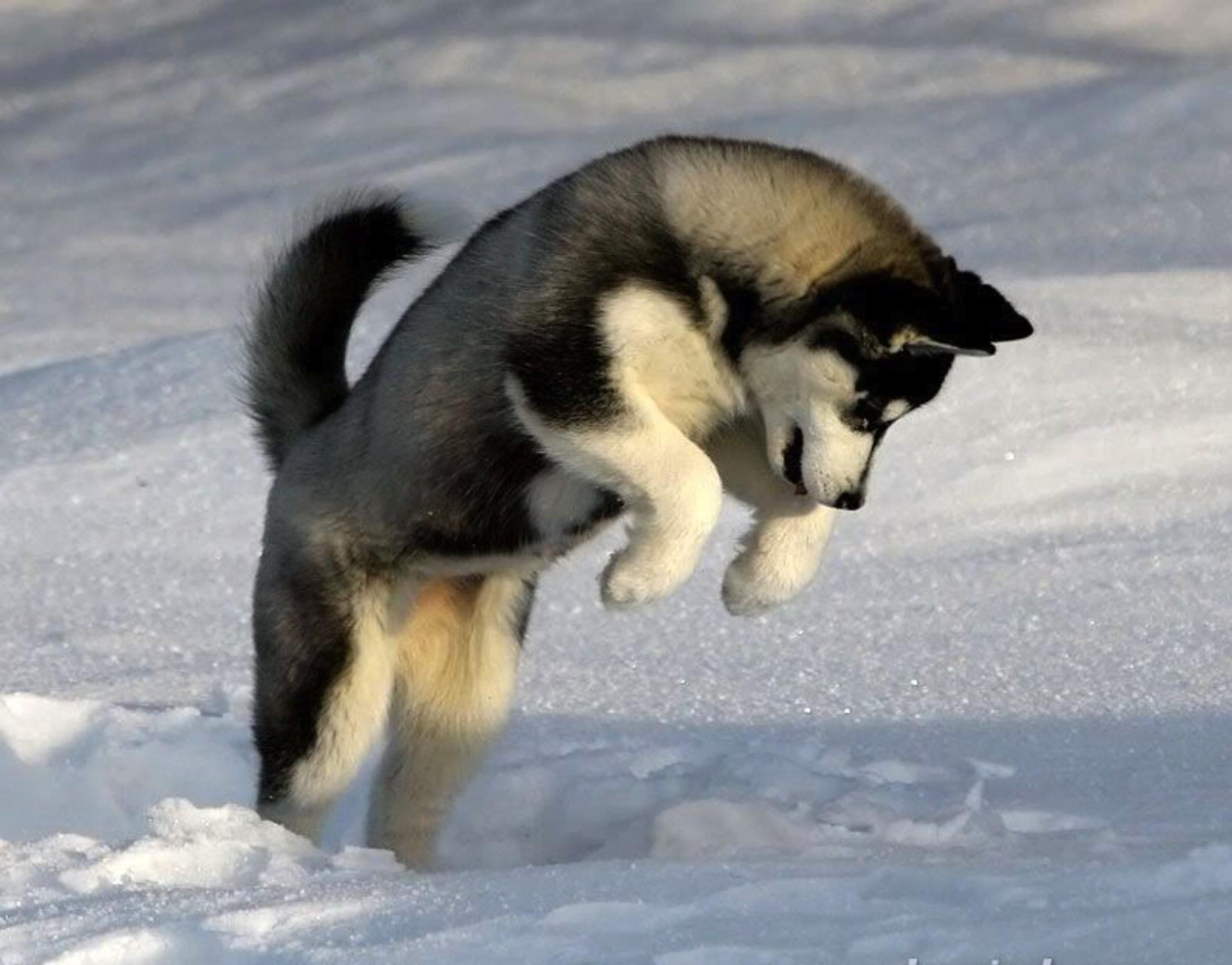 Jumping Husky | Husky Problems.com