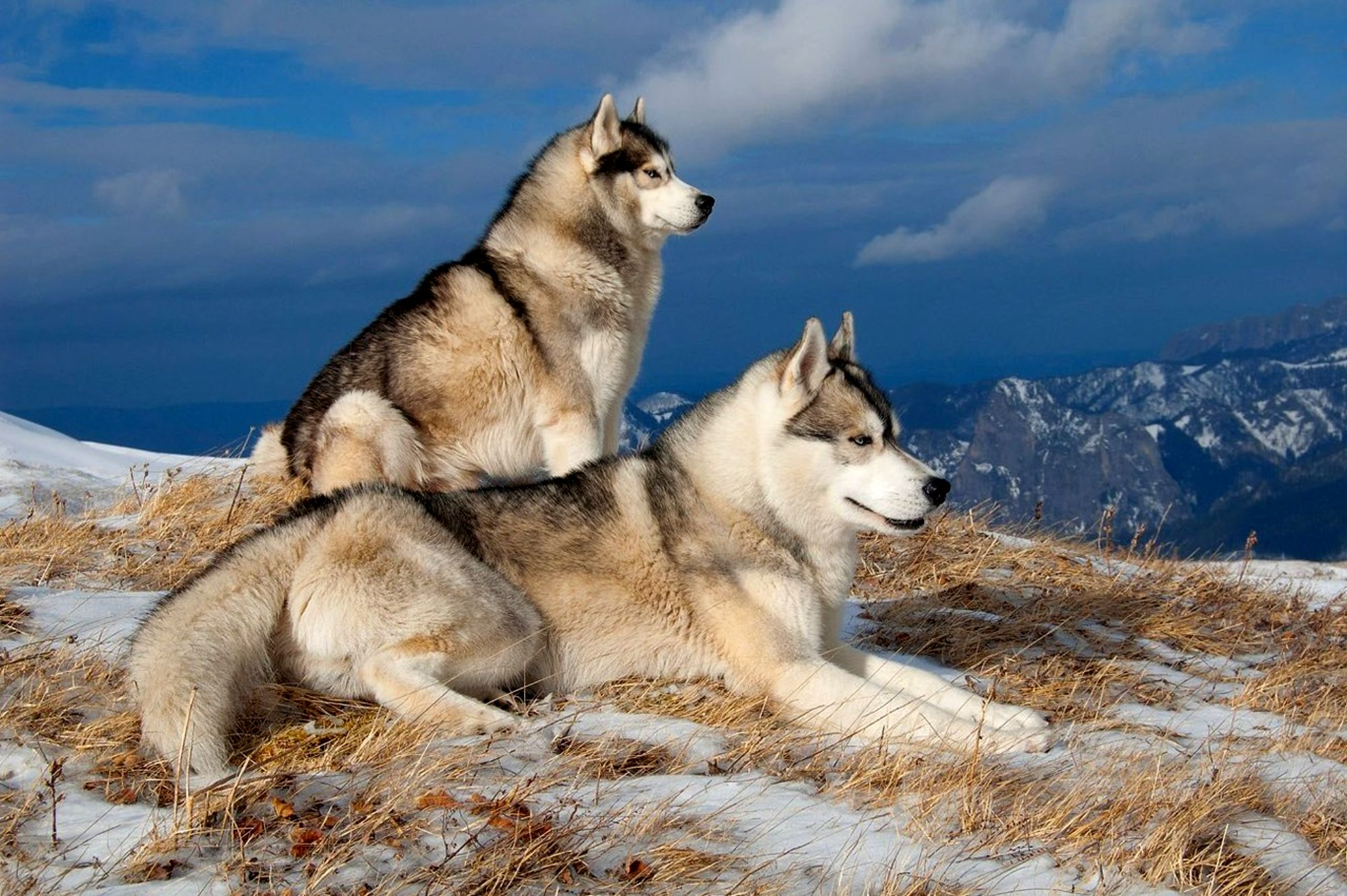 Huskies at mountain photo