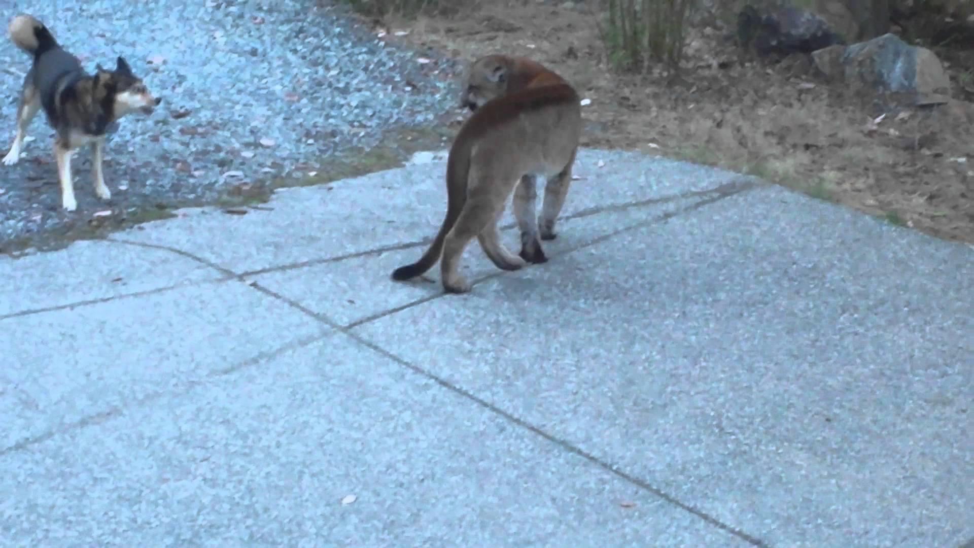 Hungry Cougar vs brave dogs, Highlands, Victoria - YouTube