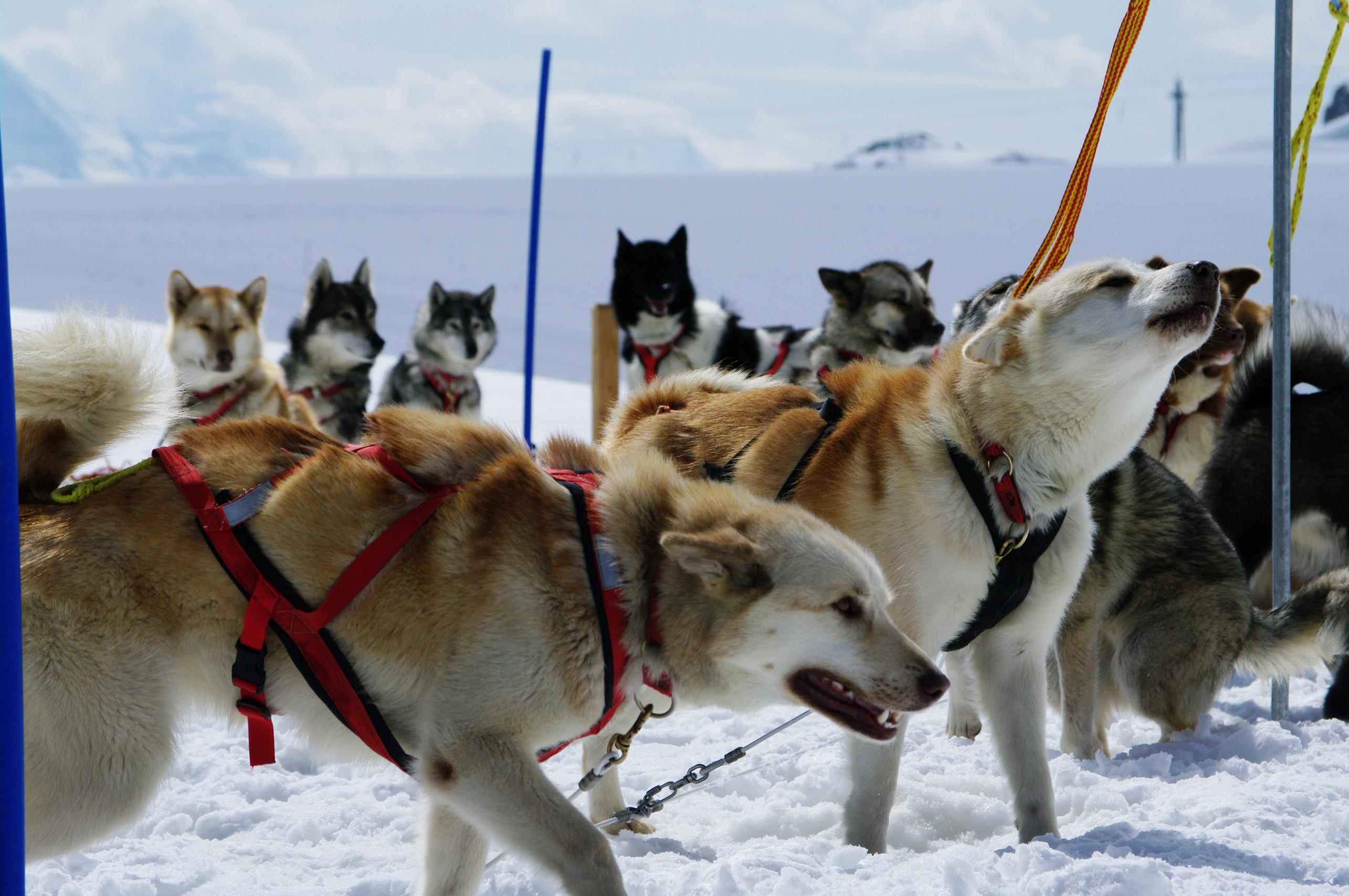 Huskies at mountain