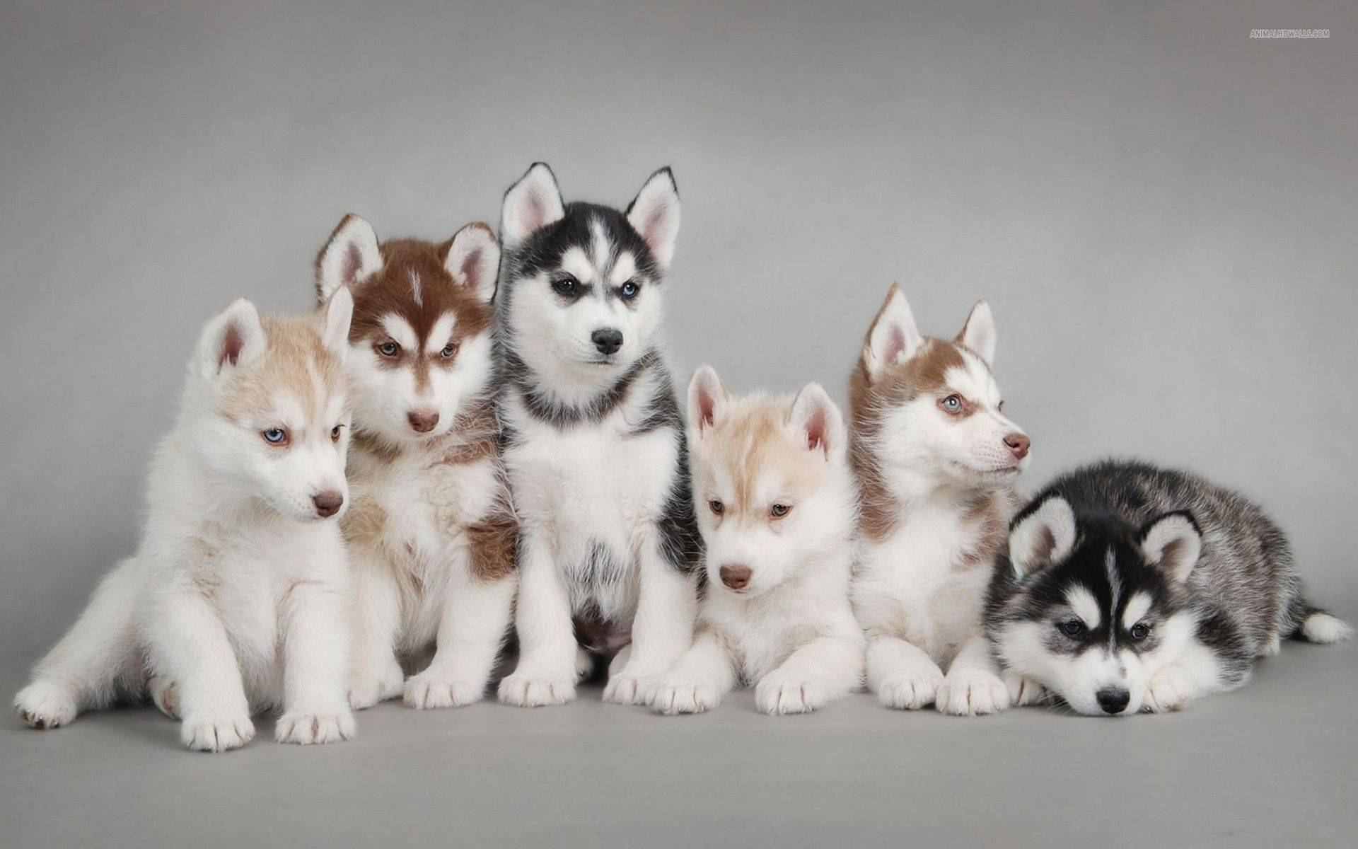 Husky with puppies photo