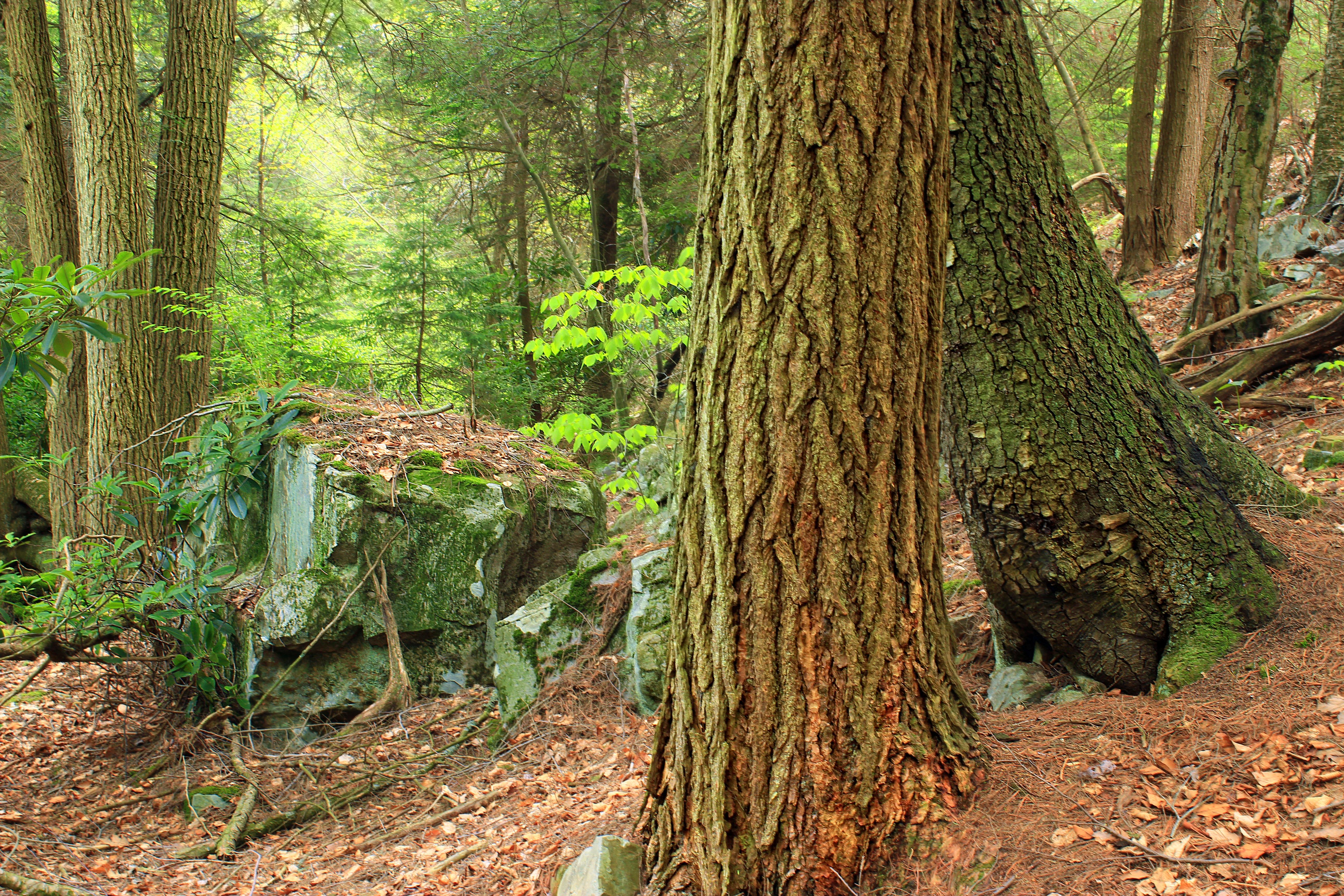 Hypsy Creek (5), Bark, Poconos, Trunks, Trees, HQ Photo