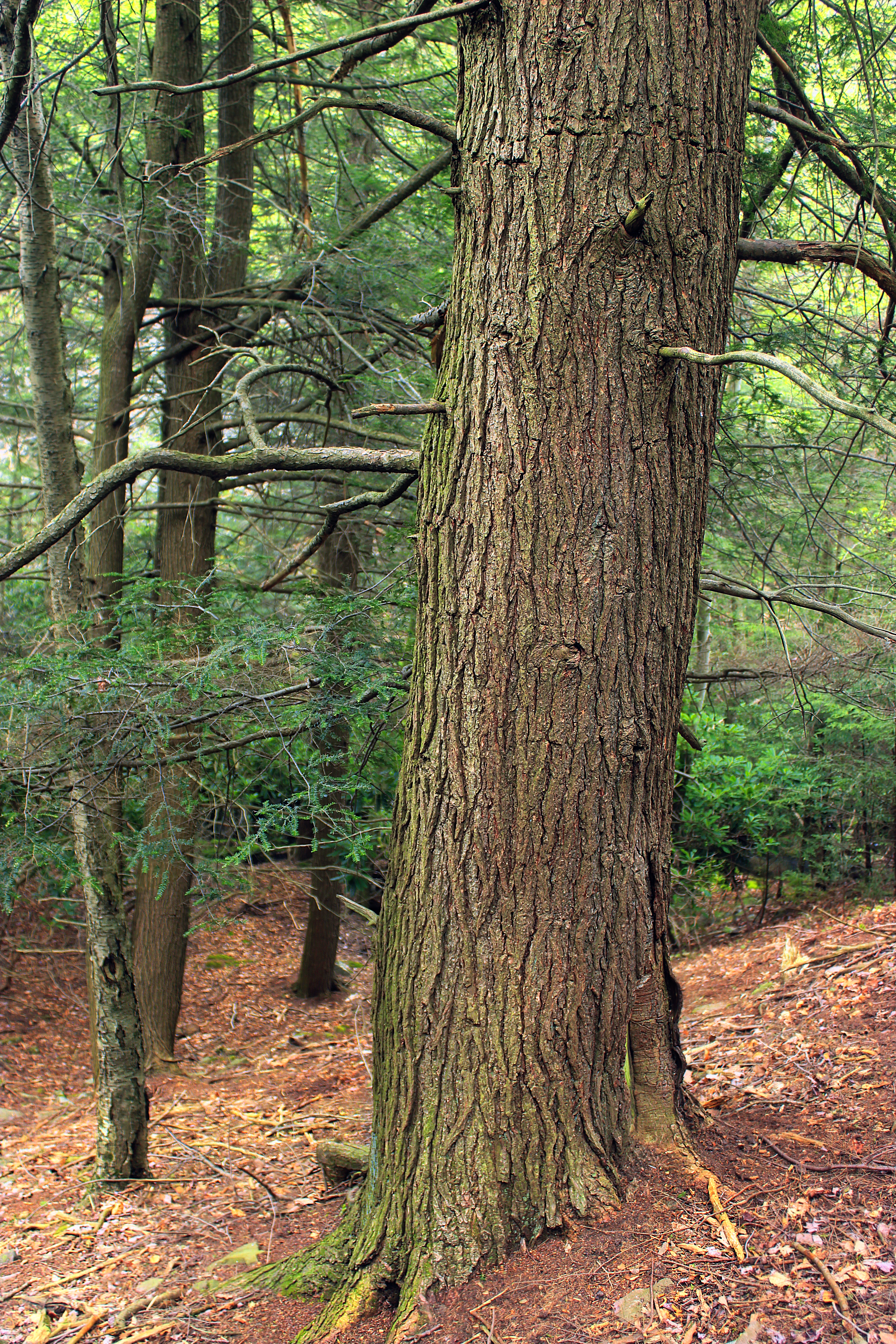 Hypsy Creek (6), CC0, Pennsylvania, Trunk, Trees, HQ Photo