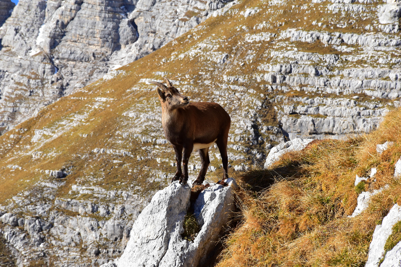 Ibex, ram animal on mountain